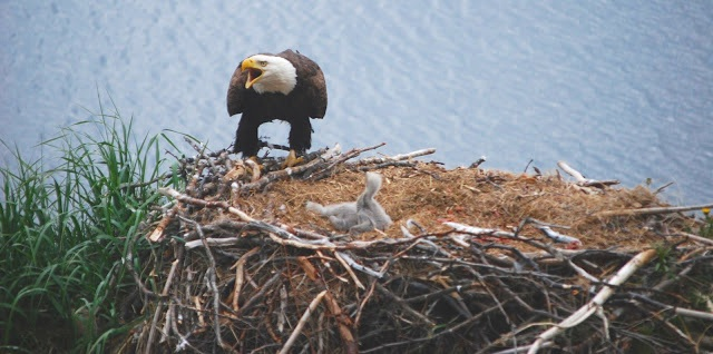 eaglets+with+mom+squaking+over+them.jpg