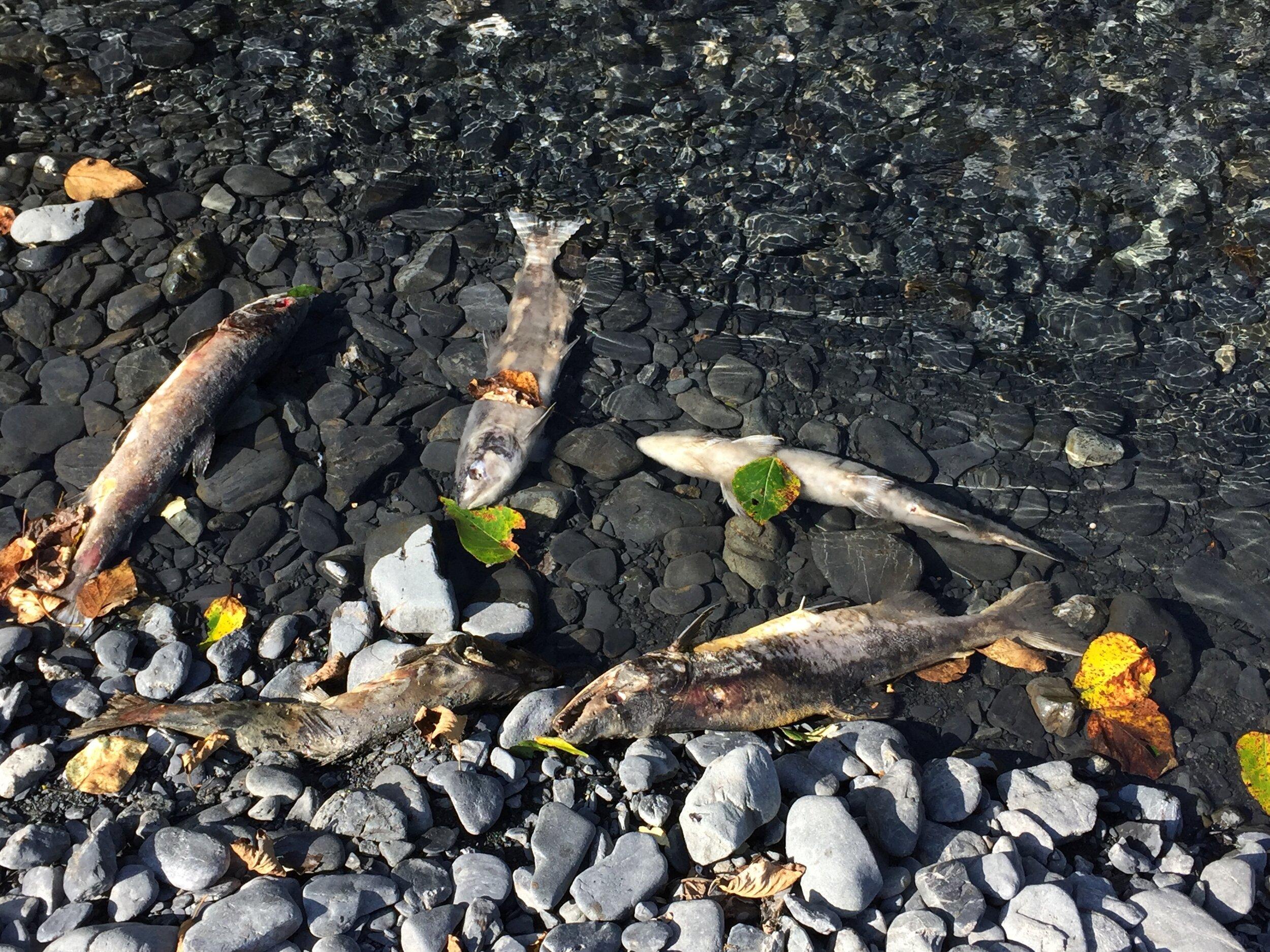 dead salmon.JPG