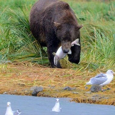 bear+eating+salmon.jpg