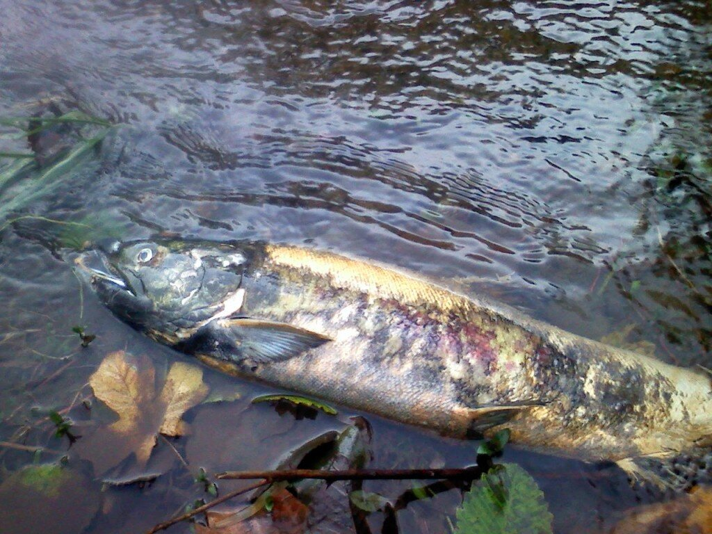 salmon--dead chum in water.jpg
