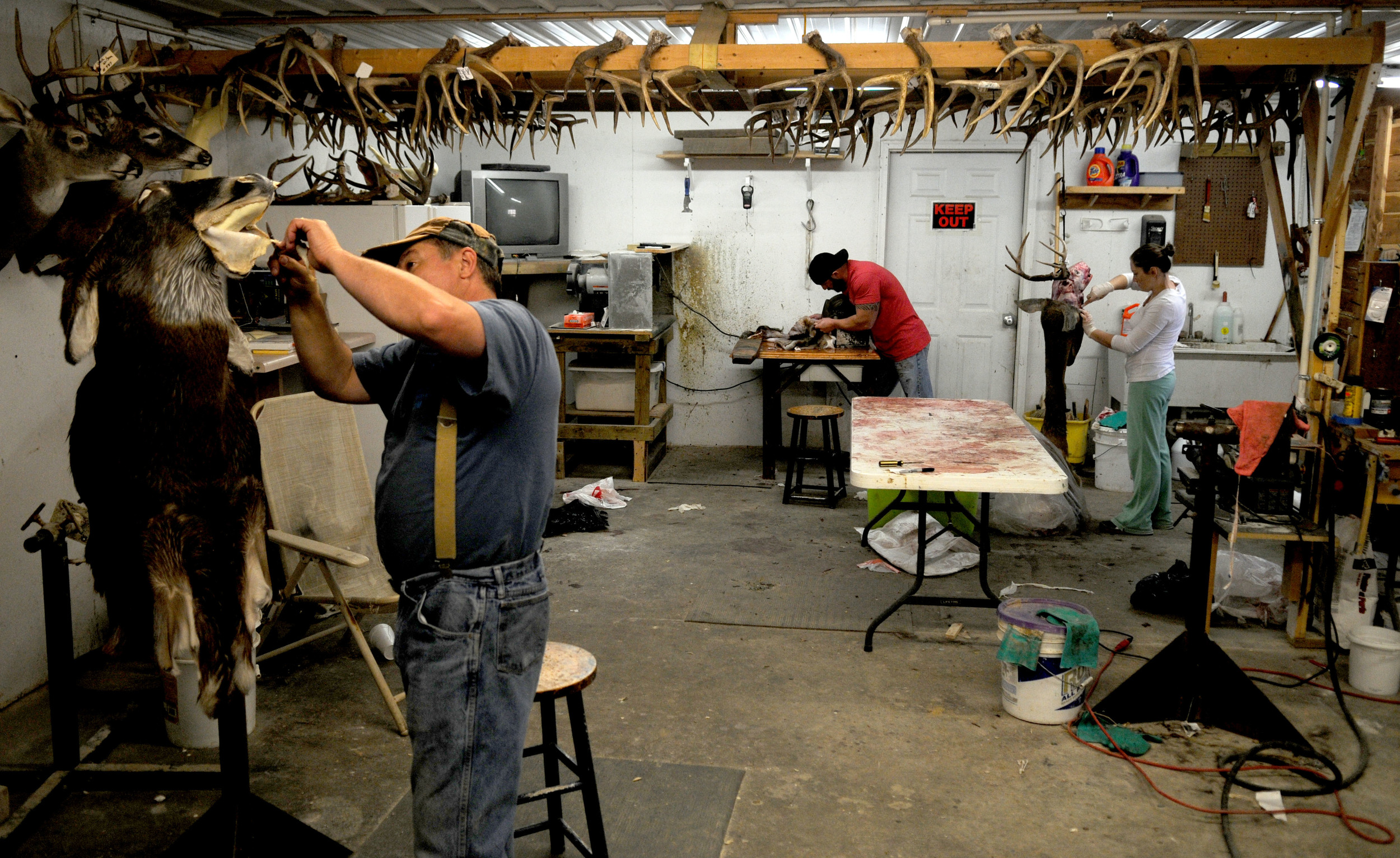 Jim McIntosh (right) works on a deer mount in his Morgantown, Kentucky, taxidermy shop on Wednesday, November fourteenth. Since business is growing, he hired his son, Travis (middle) two months ago to work part time and his daughter Janelle (right) a year ago to work with him five days a week.
