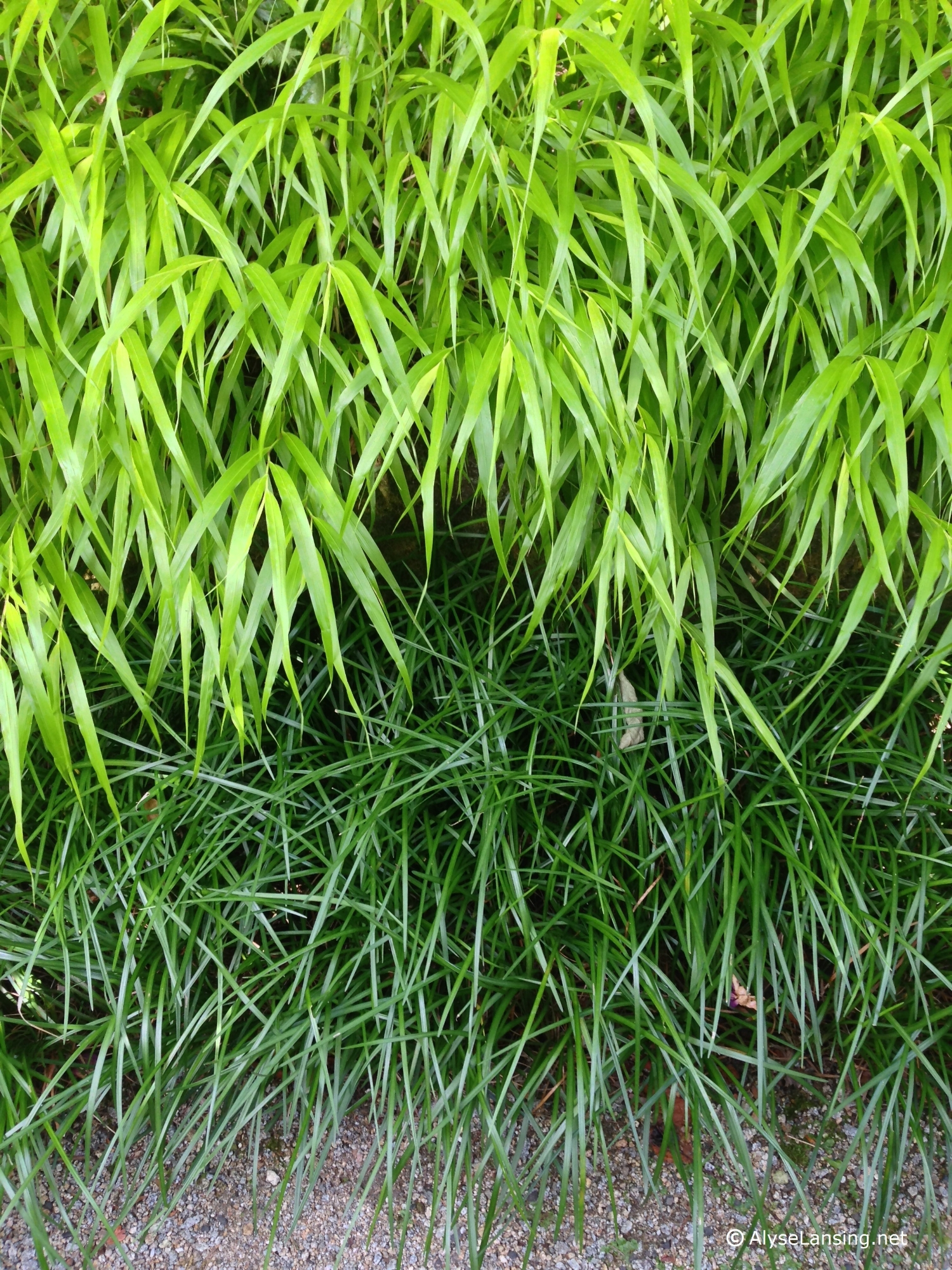 Hakonechloa macra 'All Gold' and Liriope spicata