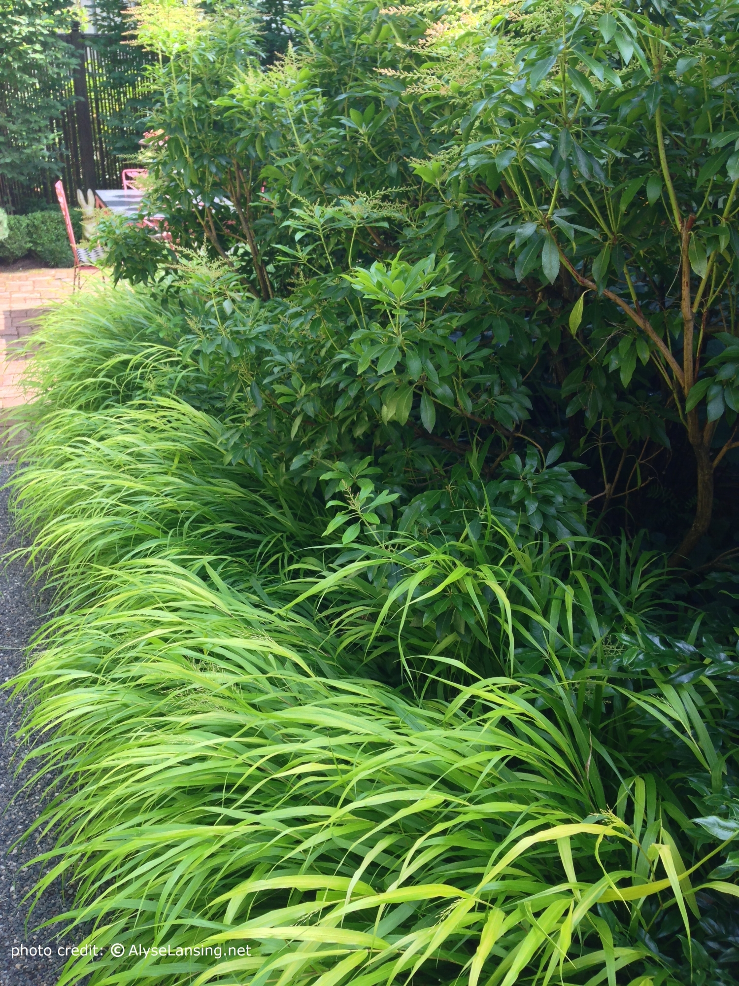 Hakonechloa macra 'All Gold' (Japanese Forest Grass) and Pieris.