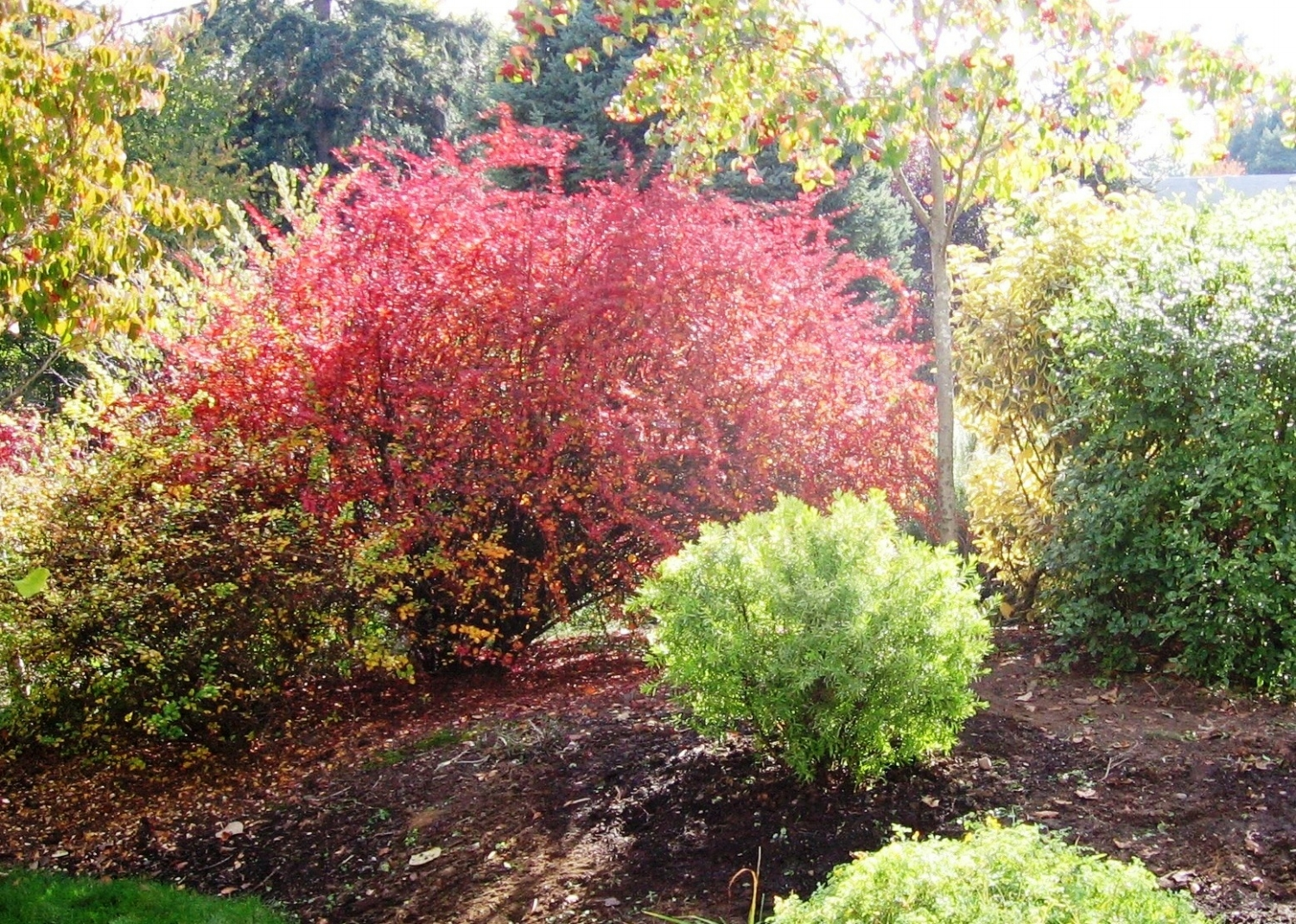 This is a pic from a few years back, with the south sun behind the red fall color of the barberry. In this shot, I had just pruned up the branches off the ground. That helps a barberry look more tidy, and makes horsetail removal easier. But it doesn't last very long (the low branches grow back), and it is a wicked, needle-filled job.