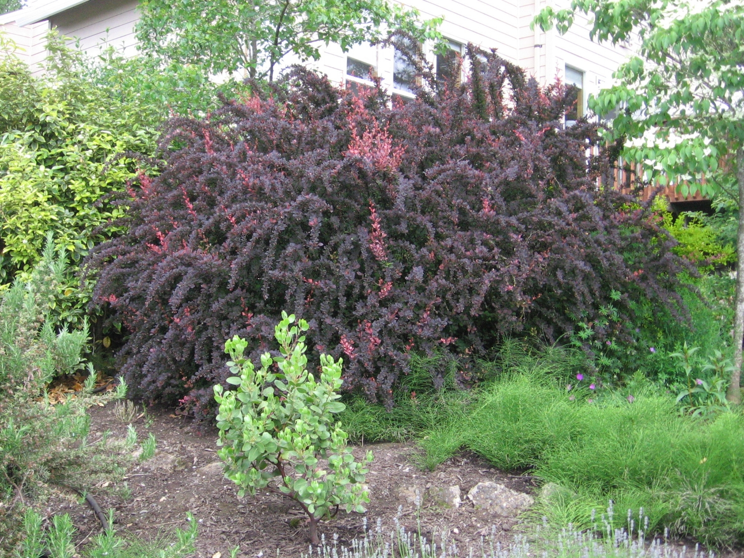 This photo of the barberry we finally removed after 20 years last week, is from Spring of 2008. It shows that most of the plant had reverted to straight purple. Note weedy horsetails tangled with the barberry at ground level, and the young Dr Hurd Manzanita in front.
