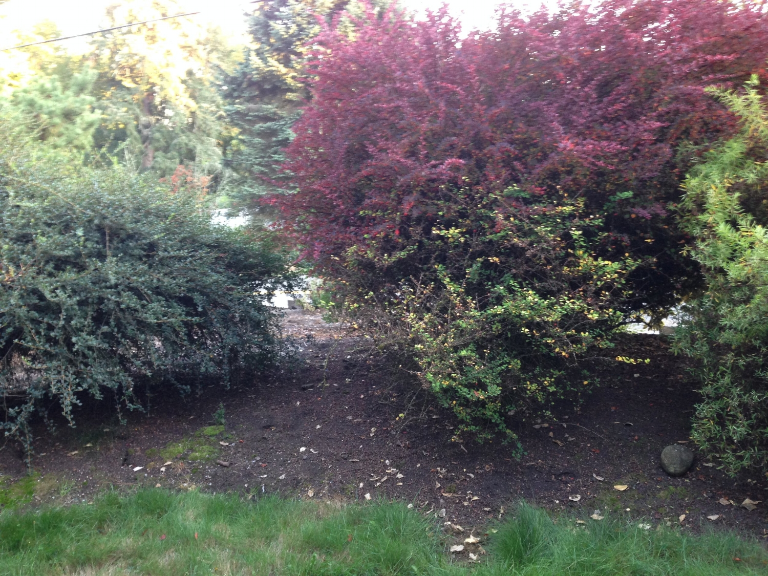 'Before'picture, Oct 2016 - which is actually a 'During'shot, taken when I had improved some of the lowest branches already. You can see how old and tired the area had become.