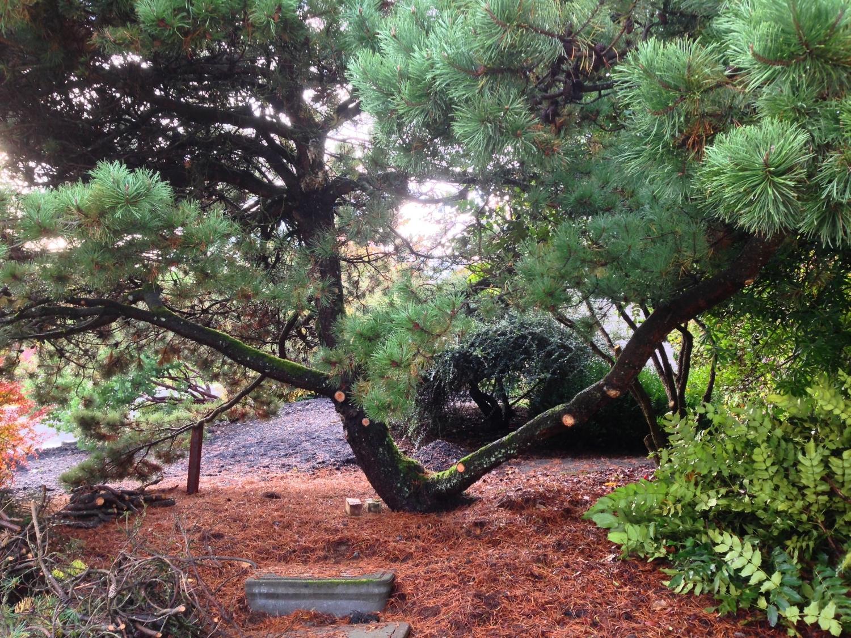 Pinus contorta , Shore Pine, after pruning.