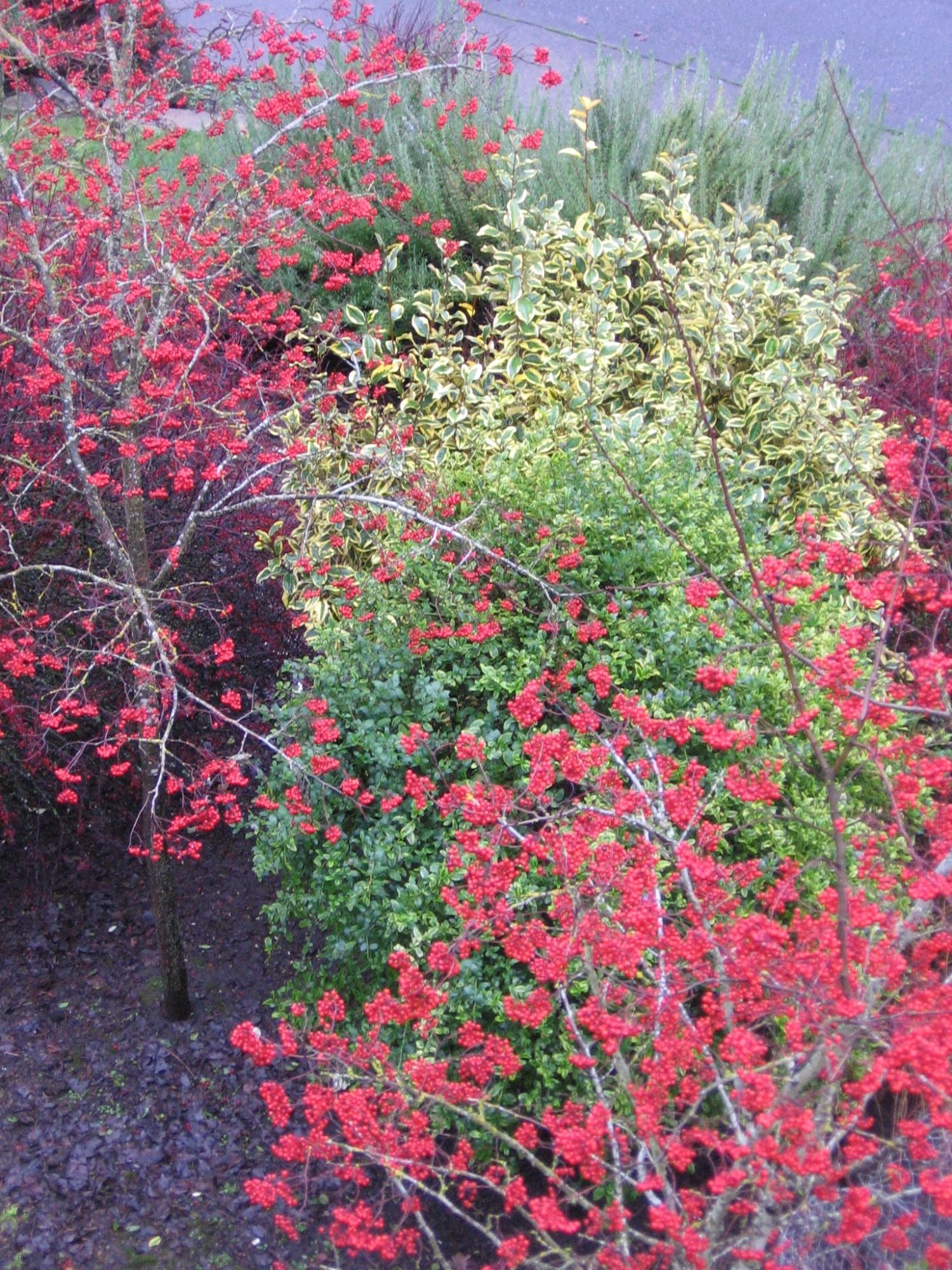 Red berries of  Crataegus phaenopyrum  (Washington Hawthorn). Planted here with yellow-and-green variegated evergreens  Ceanothus  'El Dorado' and  Elaeagnus ebbingei  'Gilt Edge'--a fantastic winter combination.