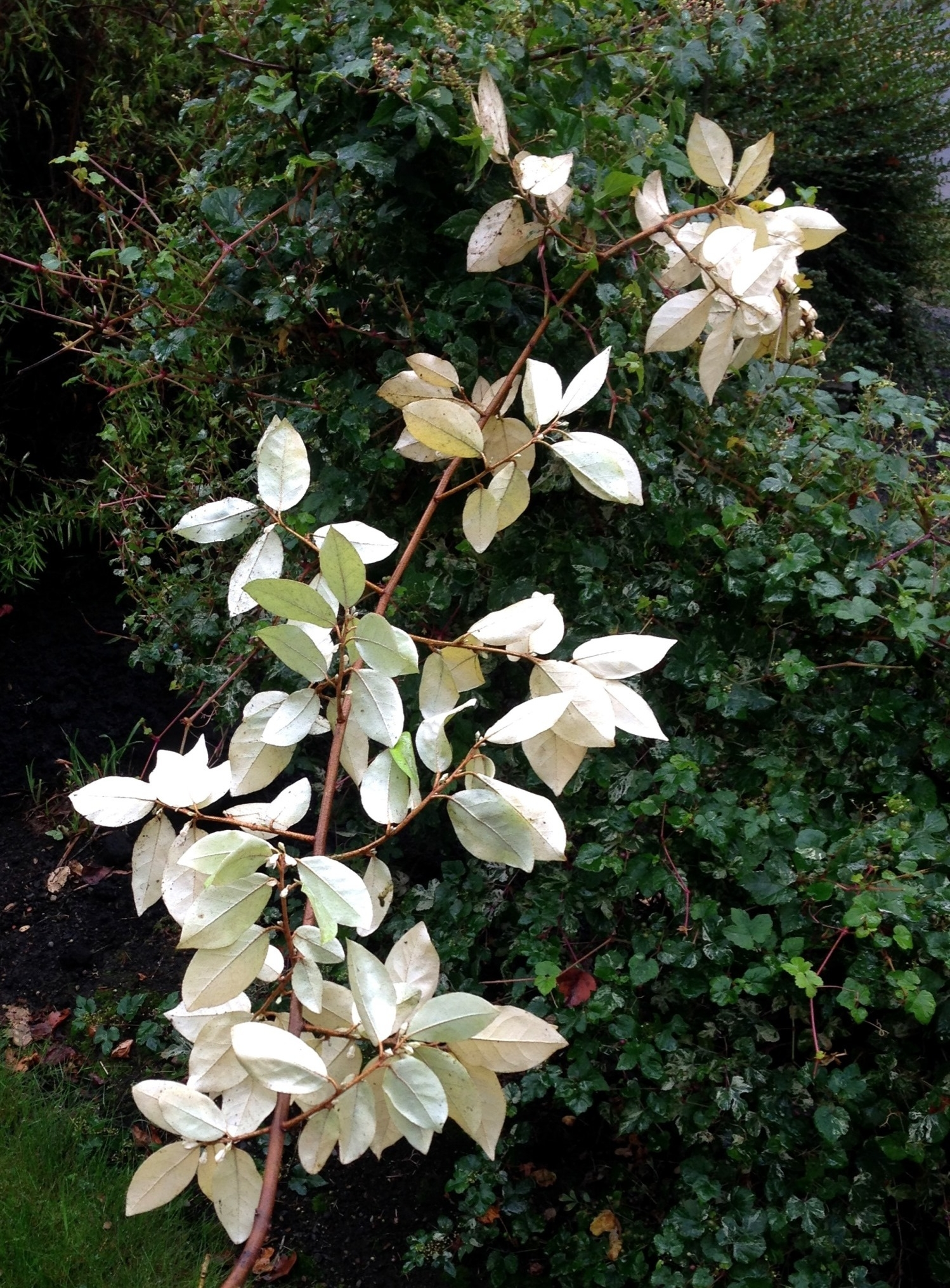 Elaeagnus  Gilt Edge, every leave is white beneath.