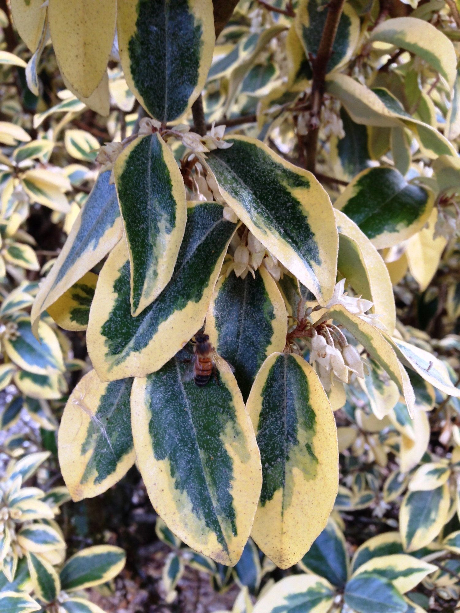 One of many honeybees humming through this  E  laeagnus  'Gilt Edge' in October.