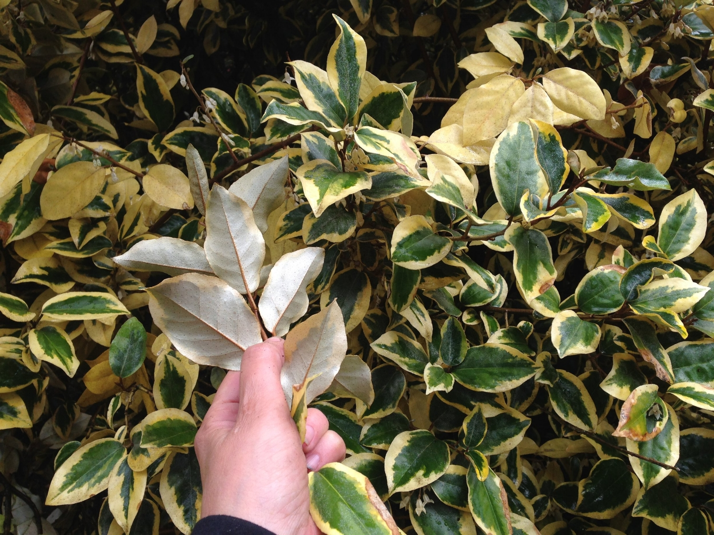 AlyseLansing_SilverberryFoliage