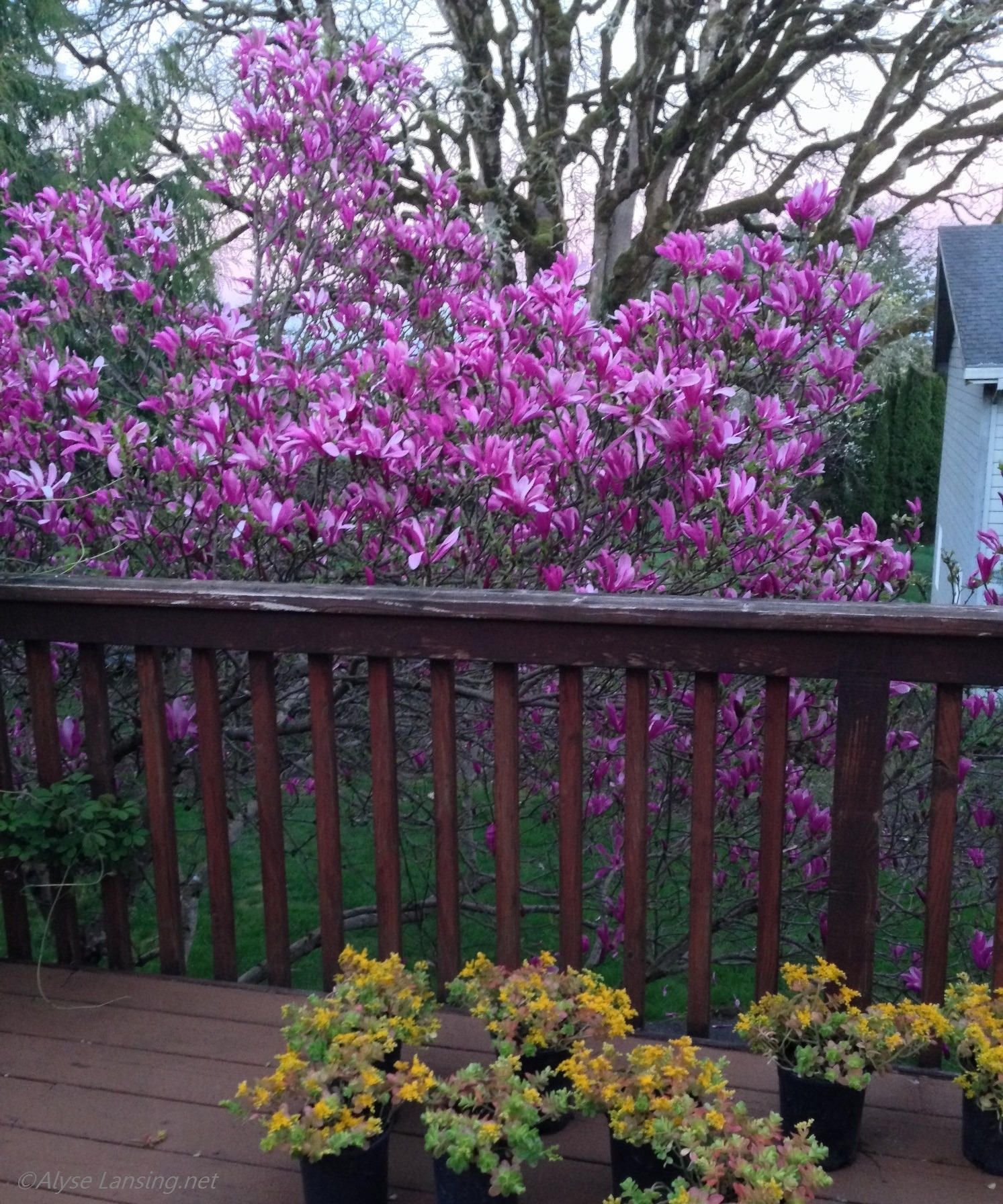 March 29, 2016.  View from my deck, with Magnolia 'Susan.'