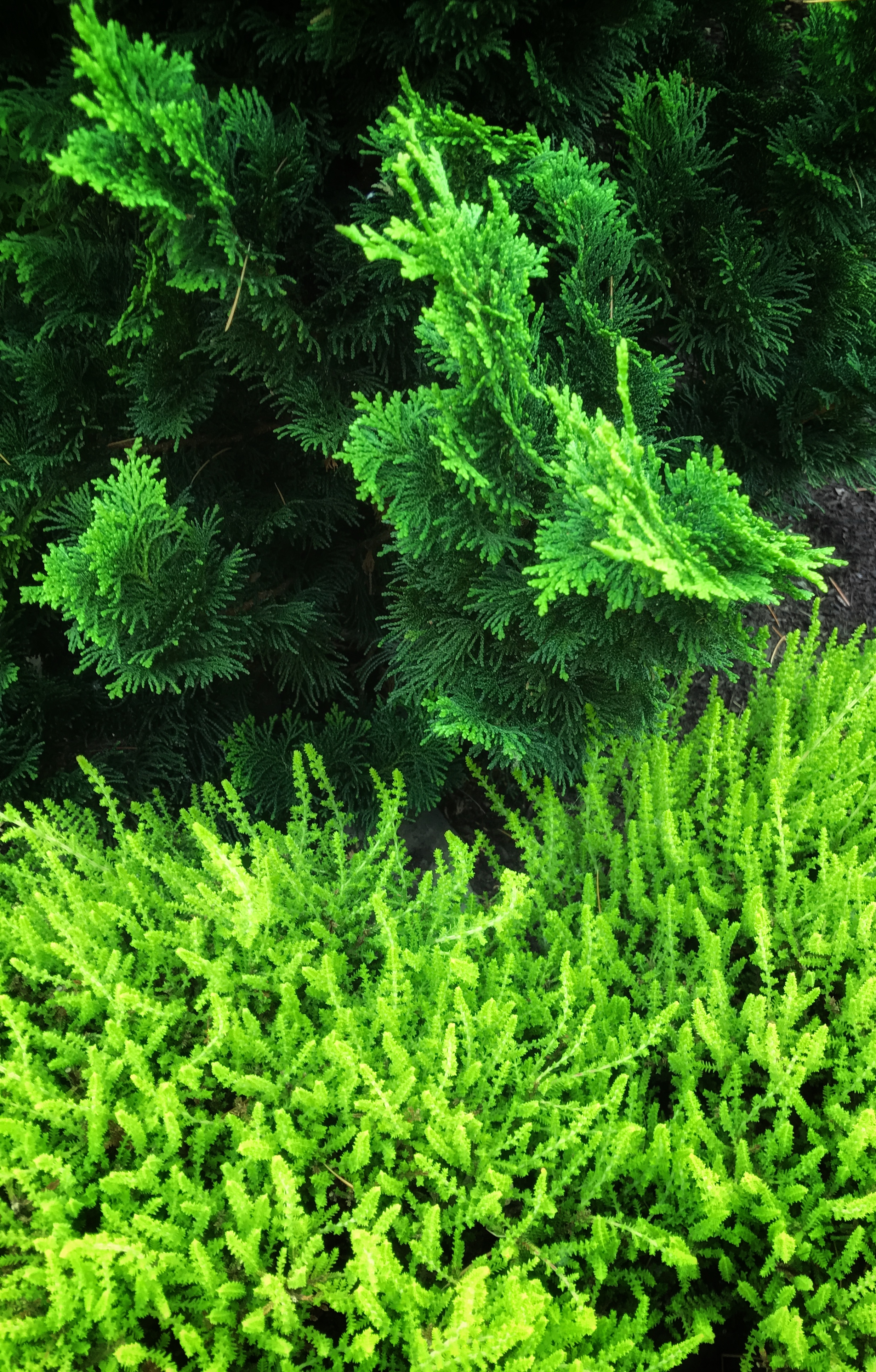 Foliage combo: Chamaecyparis obtusa (Hinoki cypress) cultivar and Calluna (Heather).