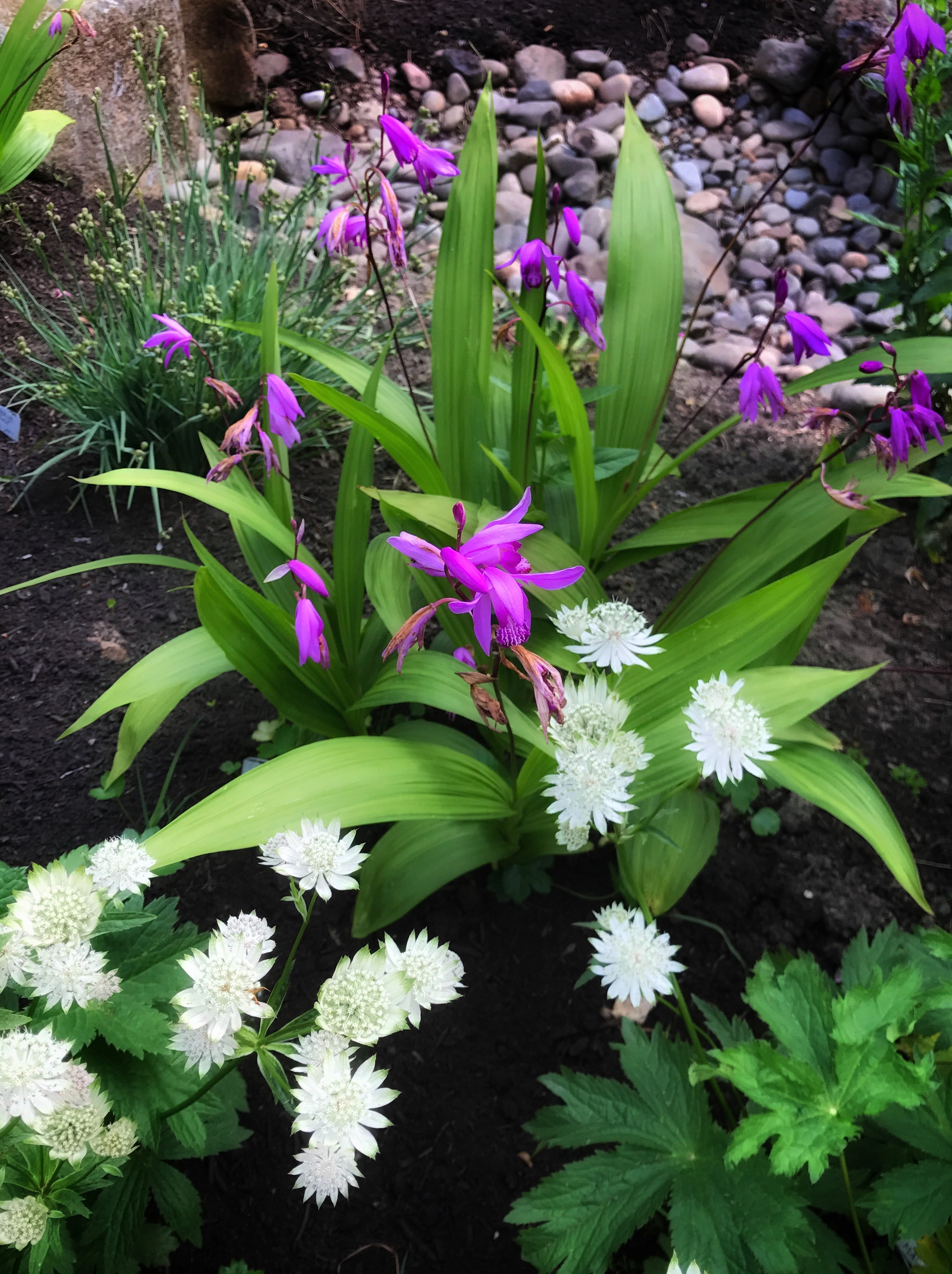 Bletilla striata (Chinese Ground Orchid), with white Astrantia.