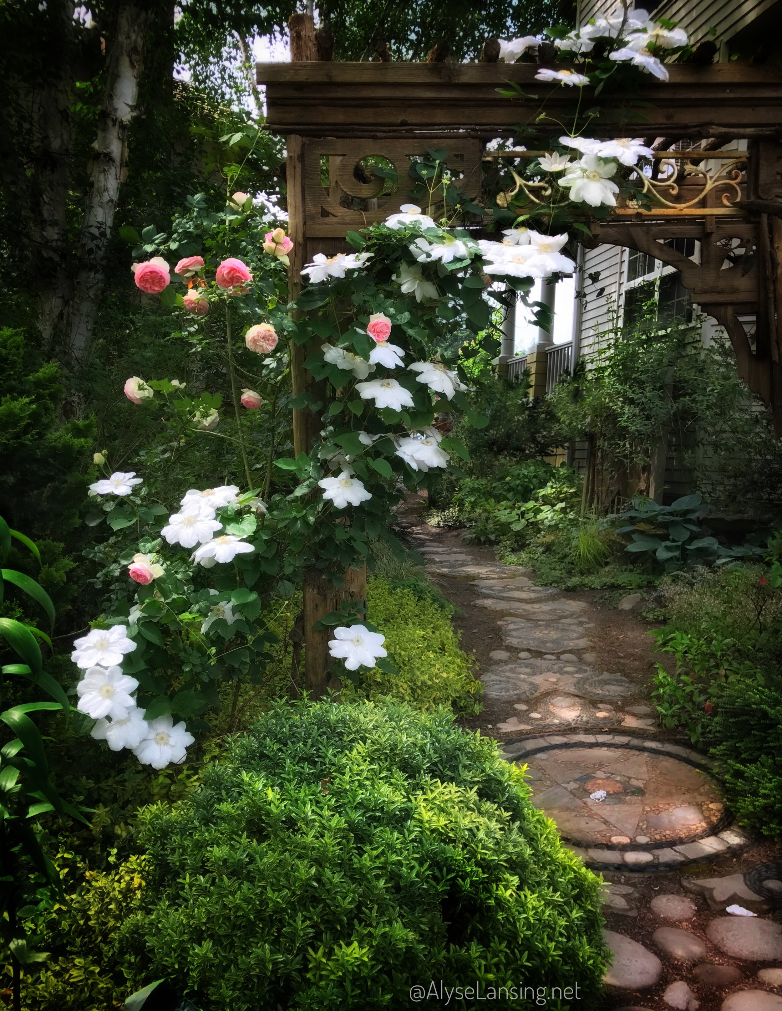 Clematis 'Candida'& Rosa 'Eden' in peak bloom June 7, 2017. Both arbor and mosaic path created by Marcia Westcott Peck.