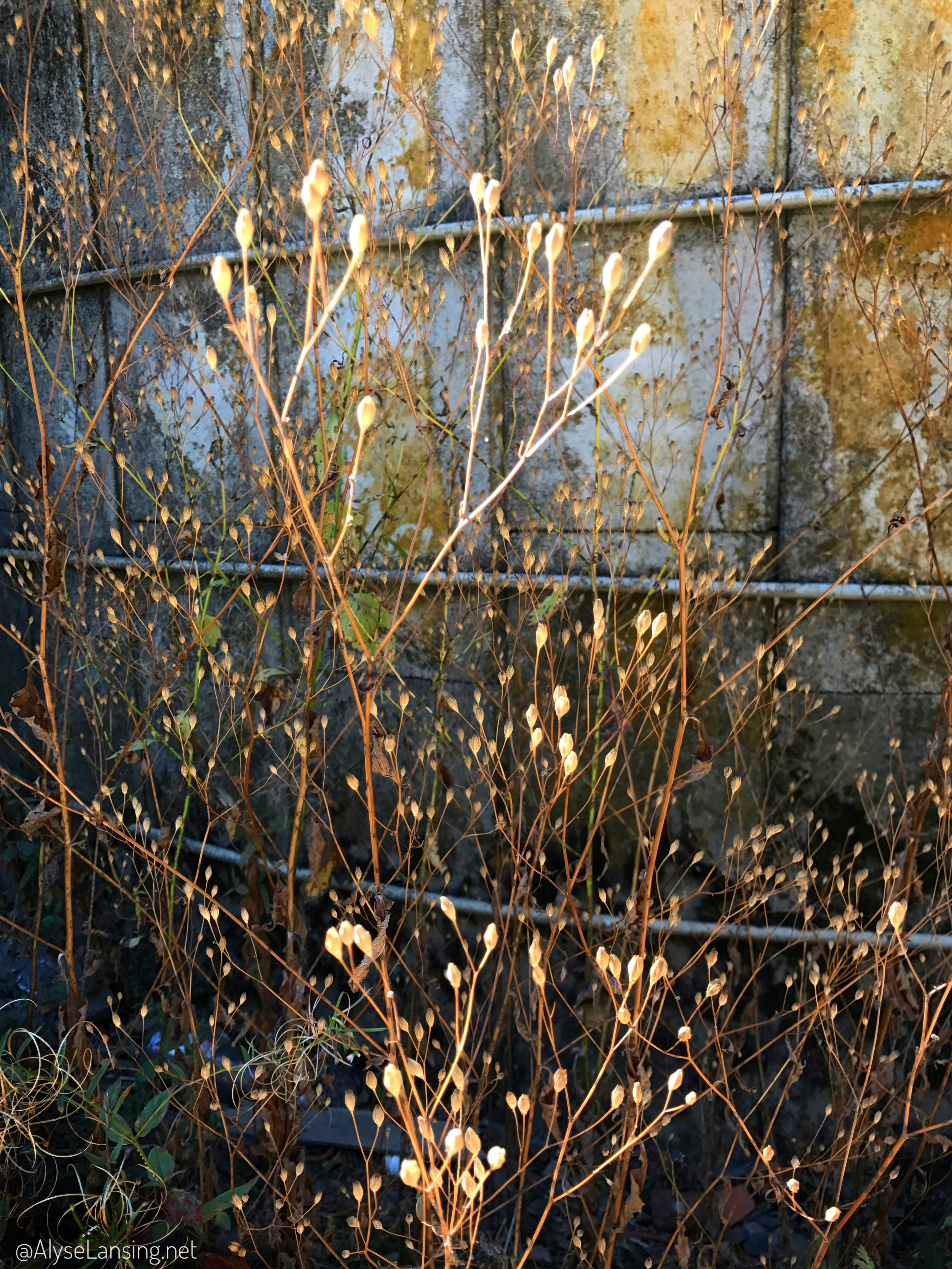 weeds_and_silo_AlyseLansing2017_16