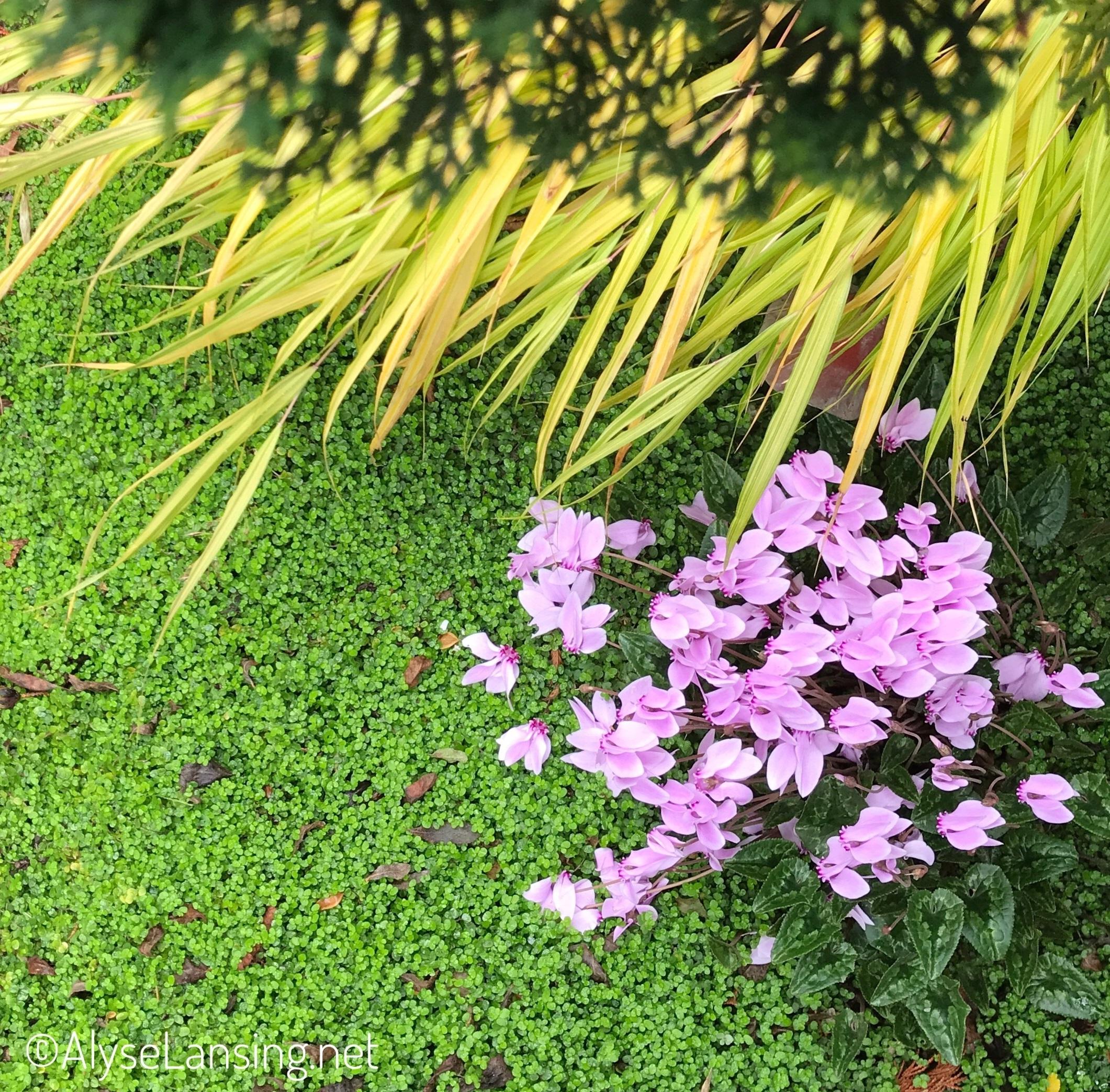 Cyclamen hederifolium with Japanese Forest Grass (Hakonechloa macra 'Aurela') and Baby's Tears (Soleirolia soleirolii), October 2017.