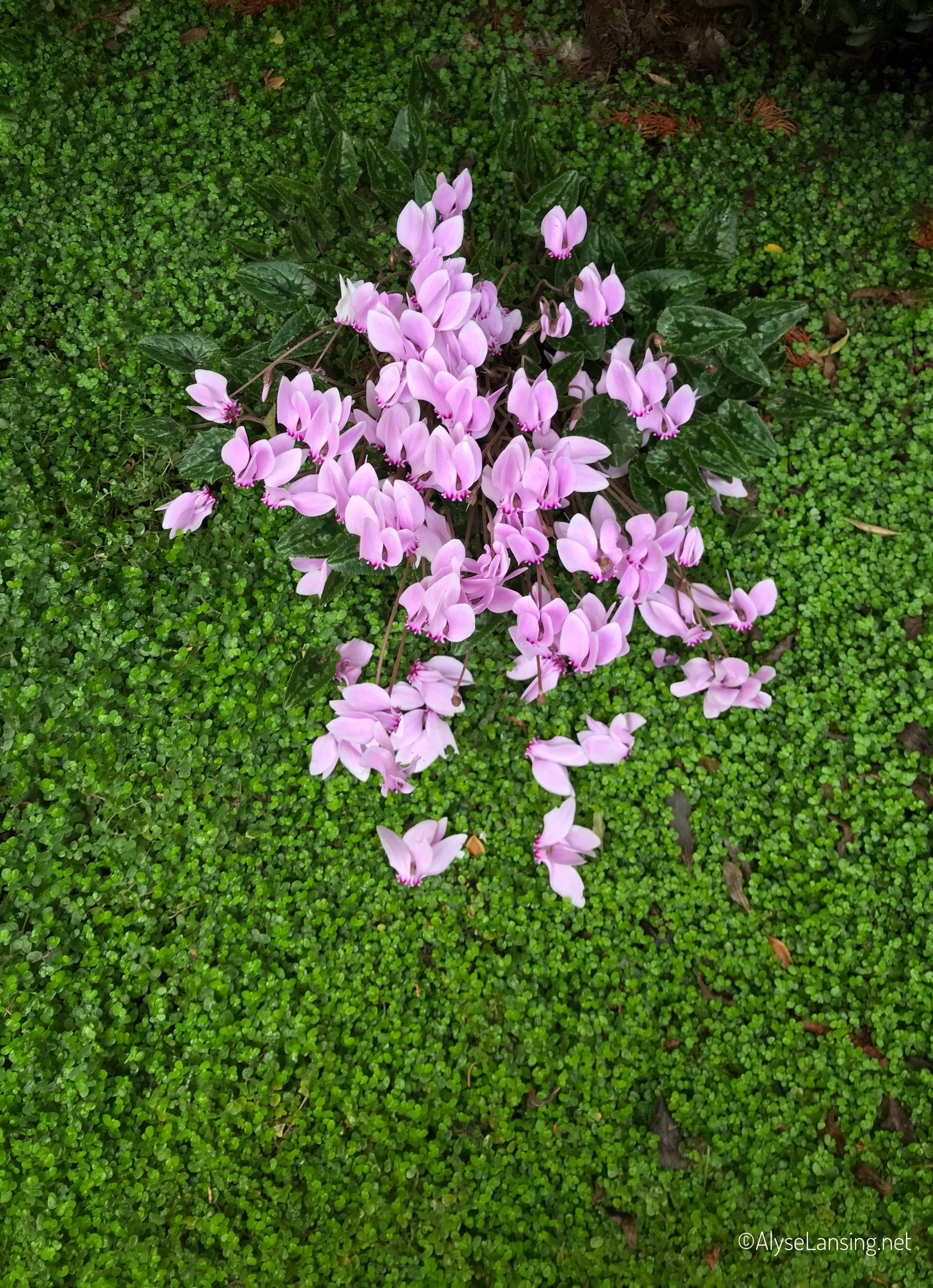 Cyclamen hederifolium and Soleirolia soleirolii