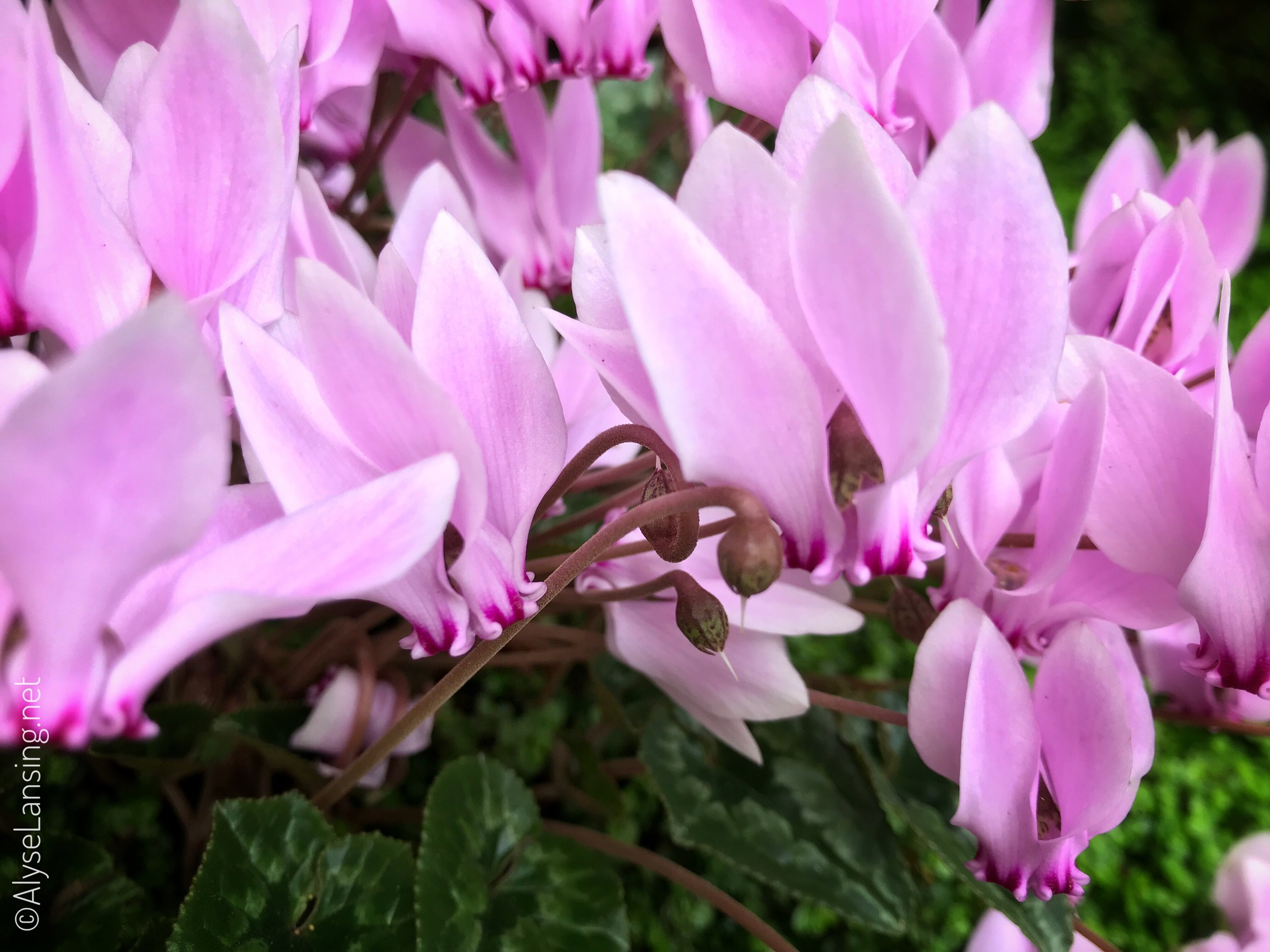 Seeds form and stems curl as the petals drop