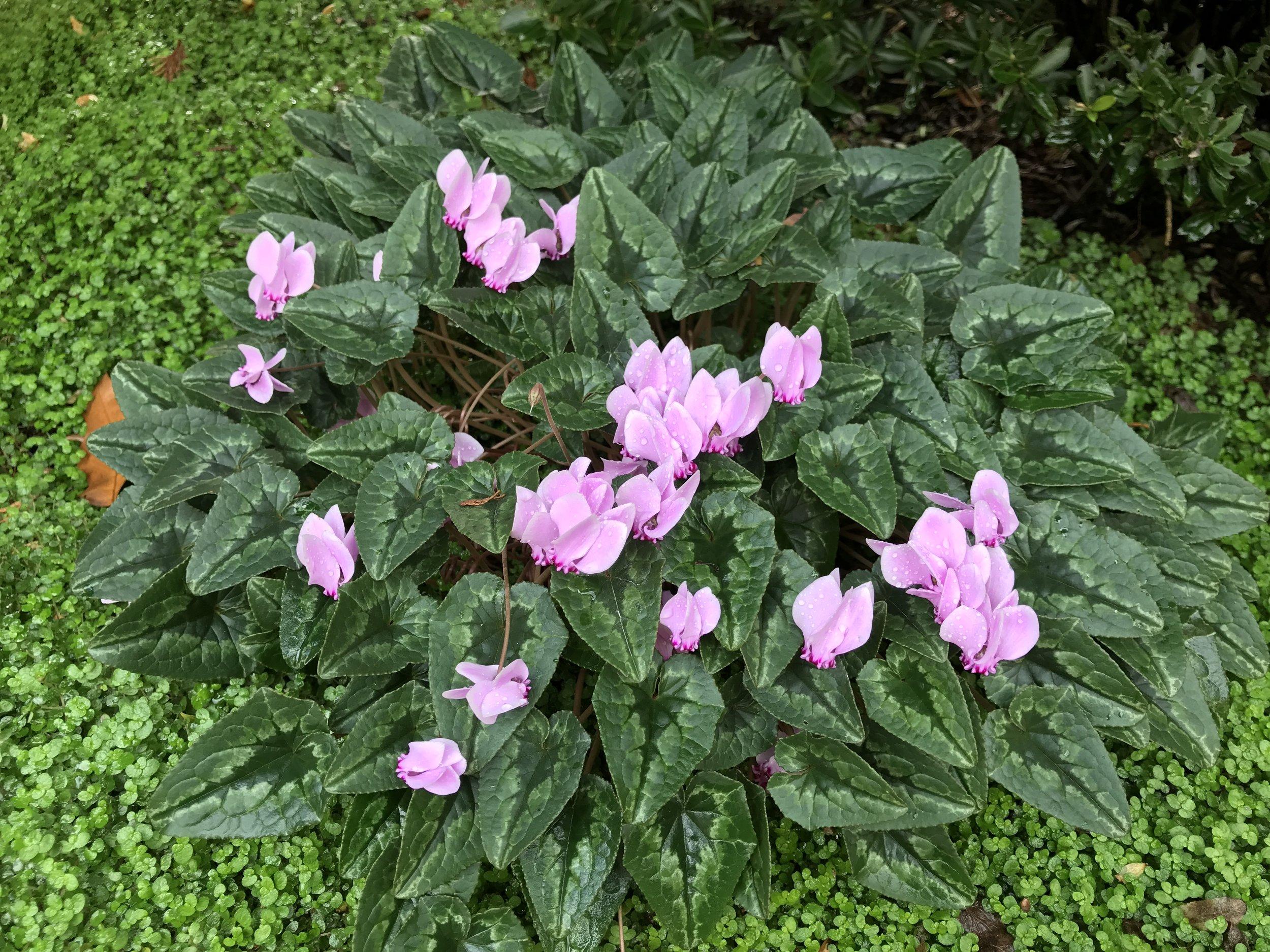 AlyseLansing_Cyclamen_hederifolium_Nov5