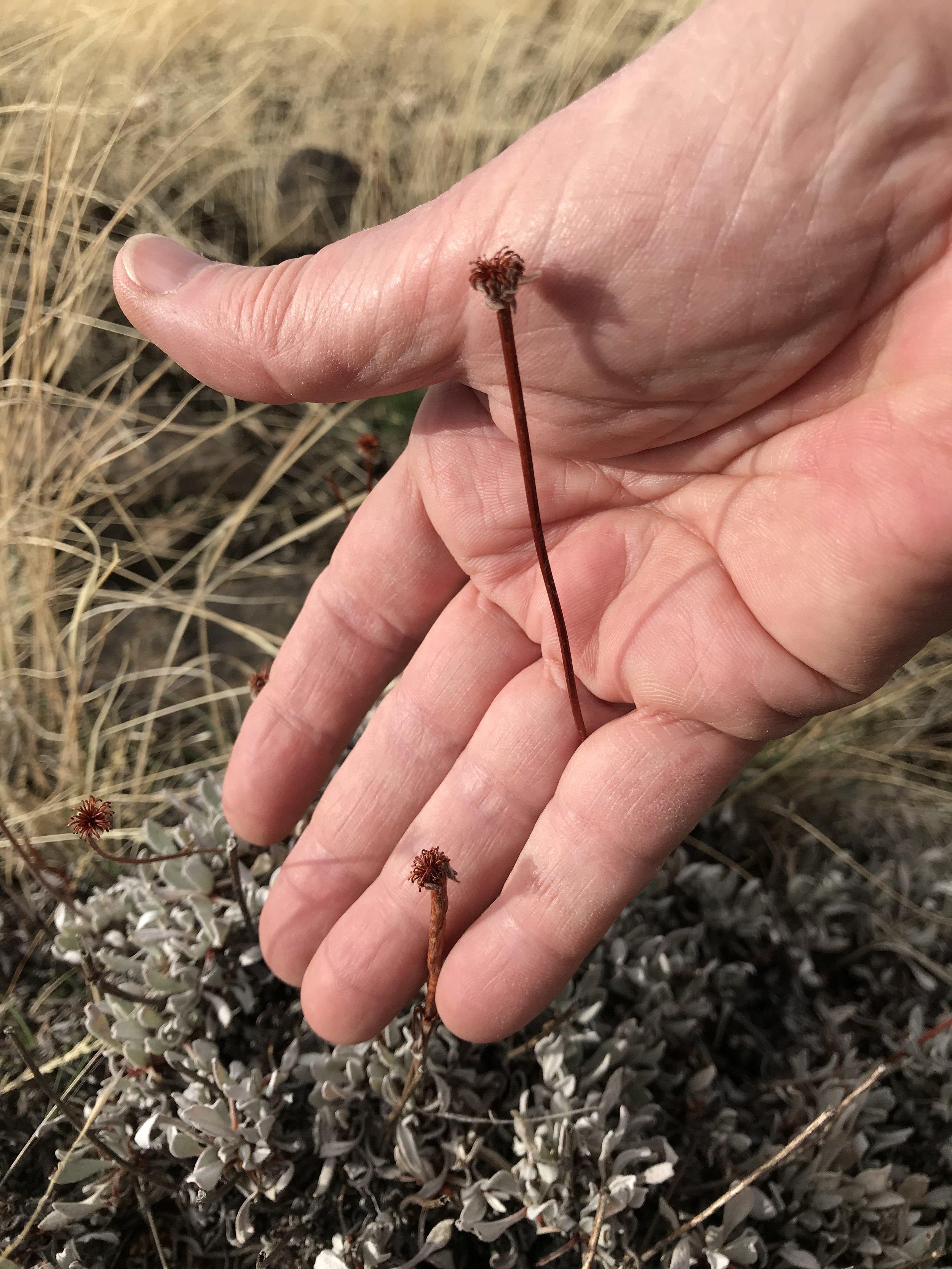 Dried flowers of Buckwheat specimen 1.