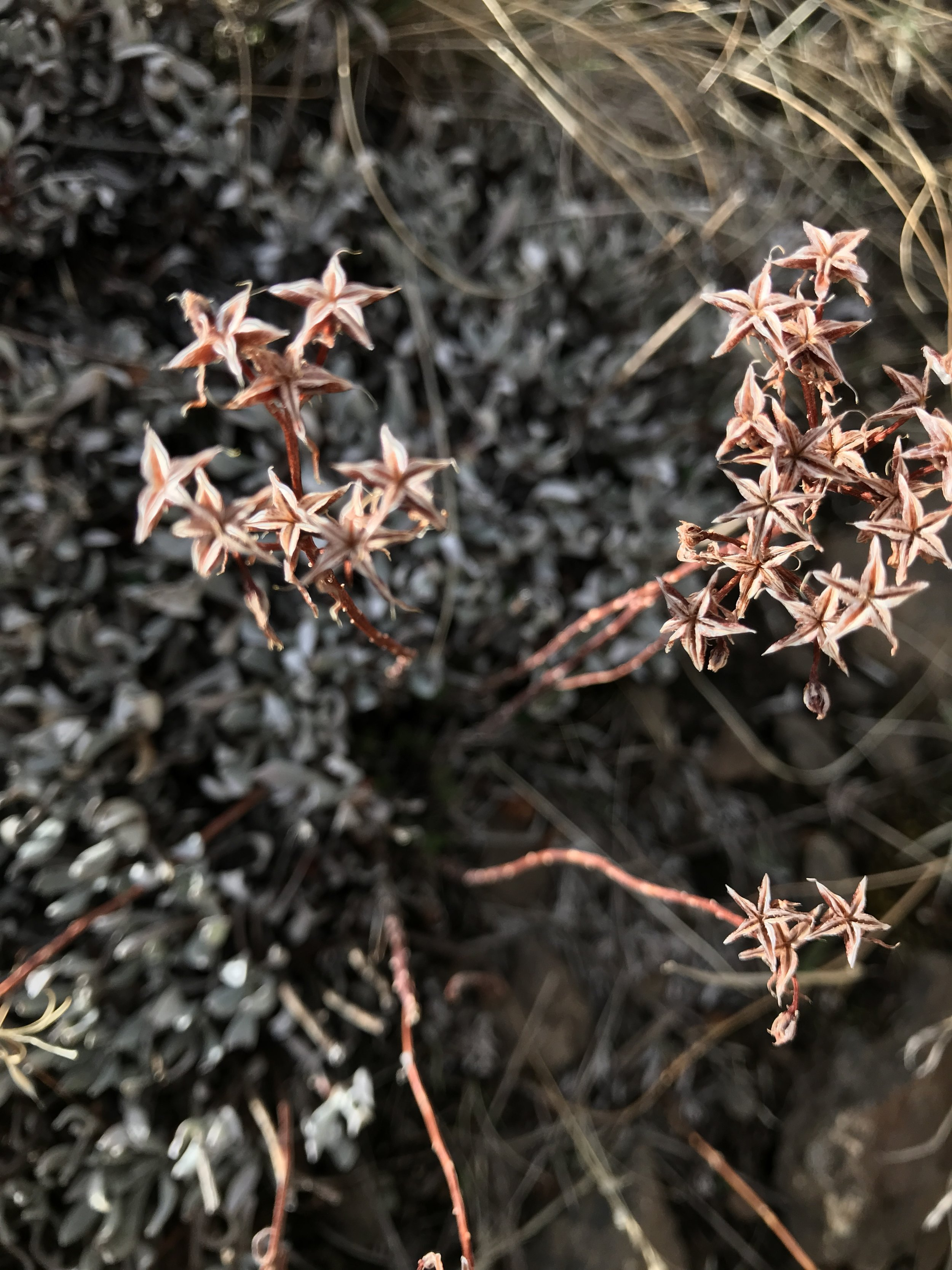 """This starry-flowered plant grows natively on a rocky bluff near my home. I've yet to trace it """"backward in time"""" to its blooming phase, so that I can identify what it is. Will the flower be as pretty as these dried flower sepals?"""