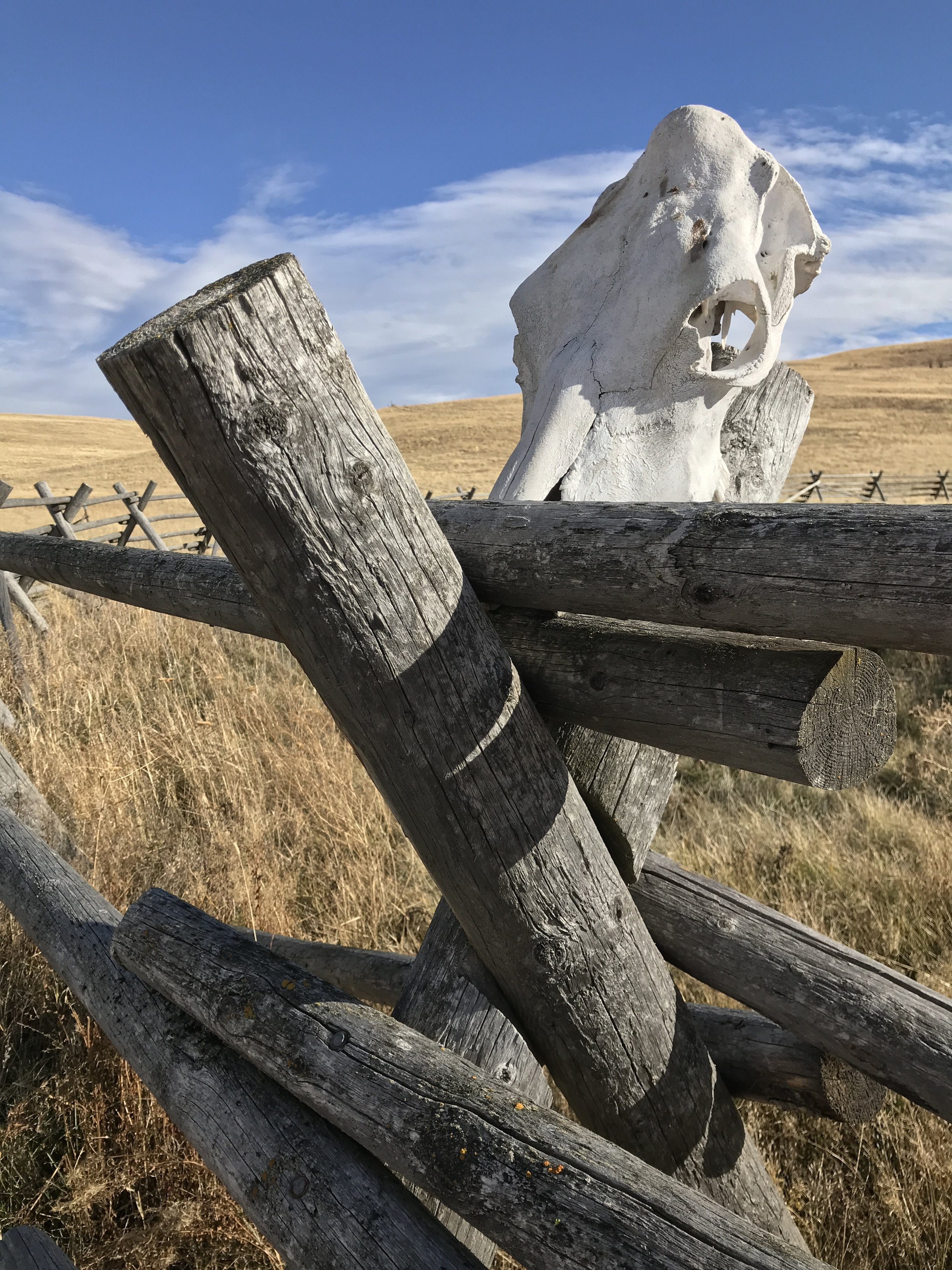 My Wednesday Vignette: Cattle skull, tripod fence, Zumwalt Prairie and eastern Oregon sky. Three photos.  *Wednesday Vignette hosted by  Flutter & Hum . Click to see other intriguing vignettes of the day.