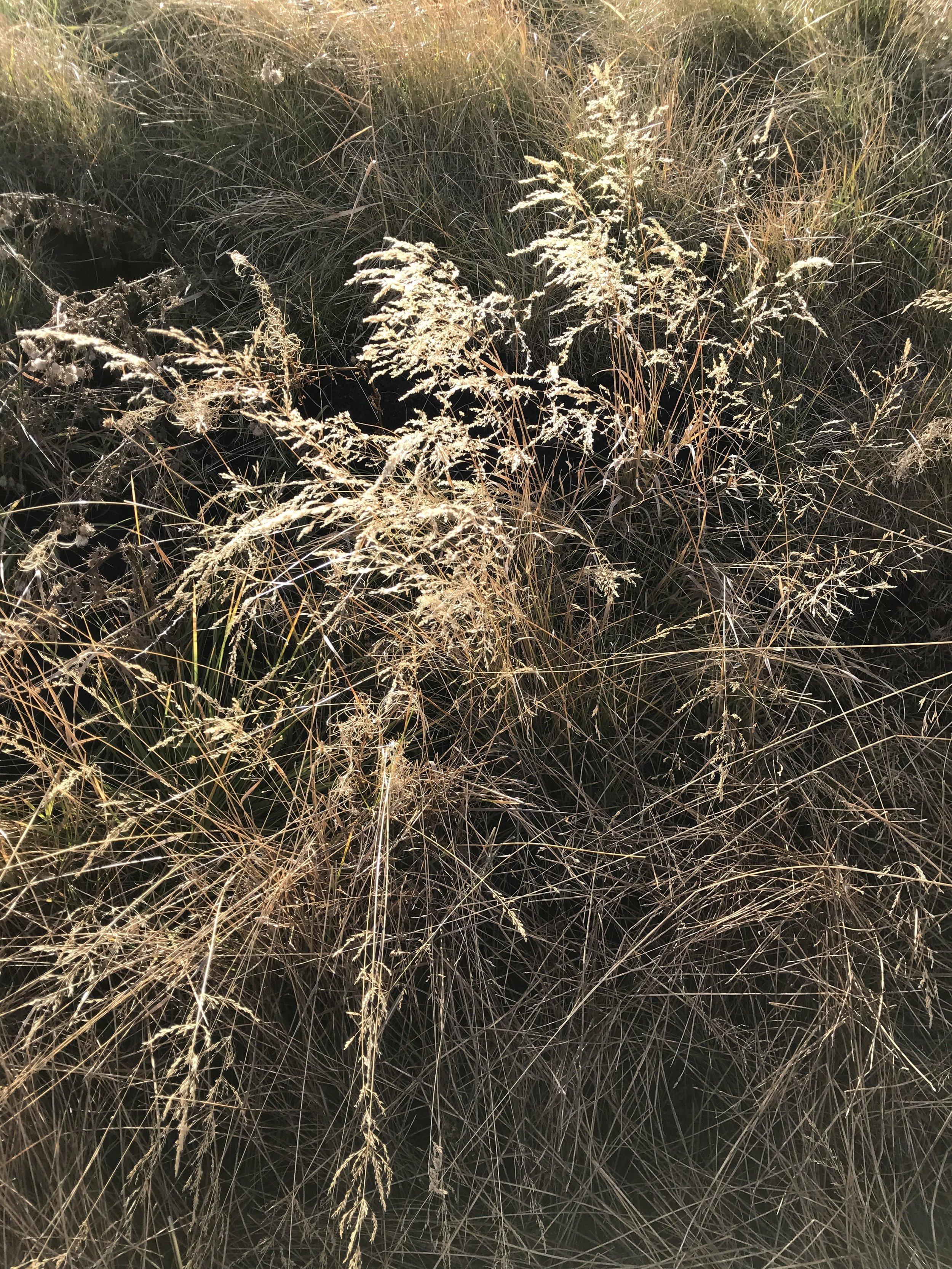 AlyseLansing_HornedLarkTrail_grass-1