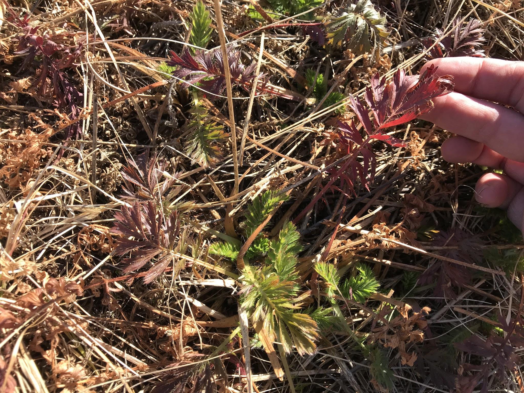 Ferny-foliaged forb that was everywhere