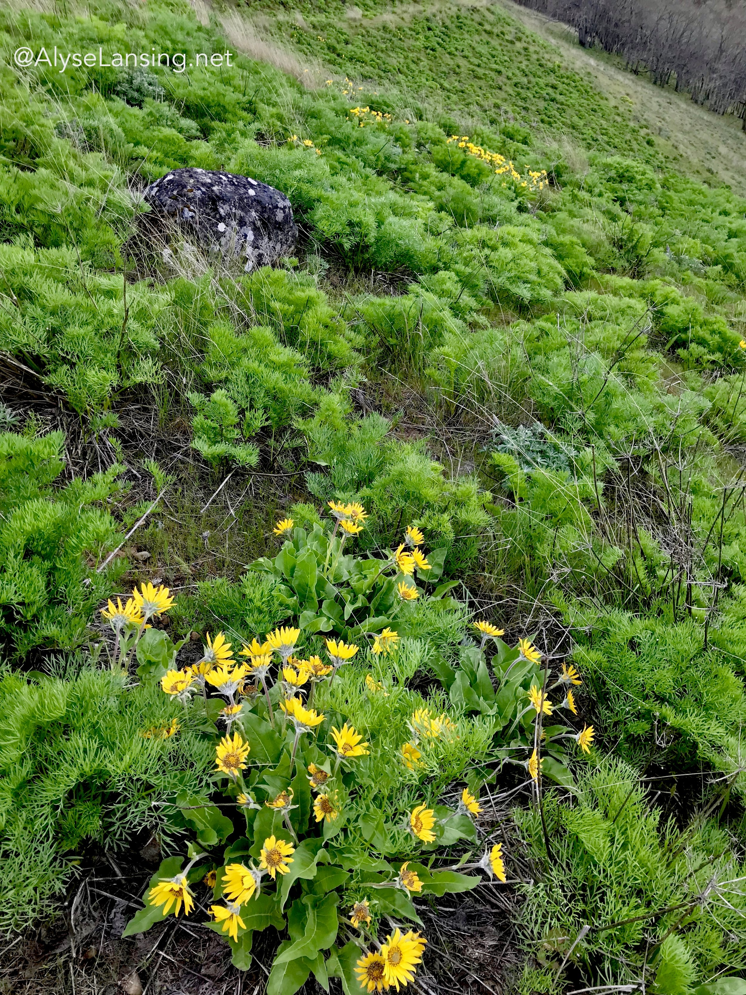 A few fat-blooming Balsamroot are sprinkled in a field of Suksdorf's Lomatium yet to flower.