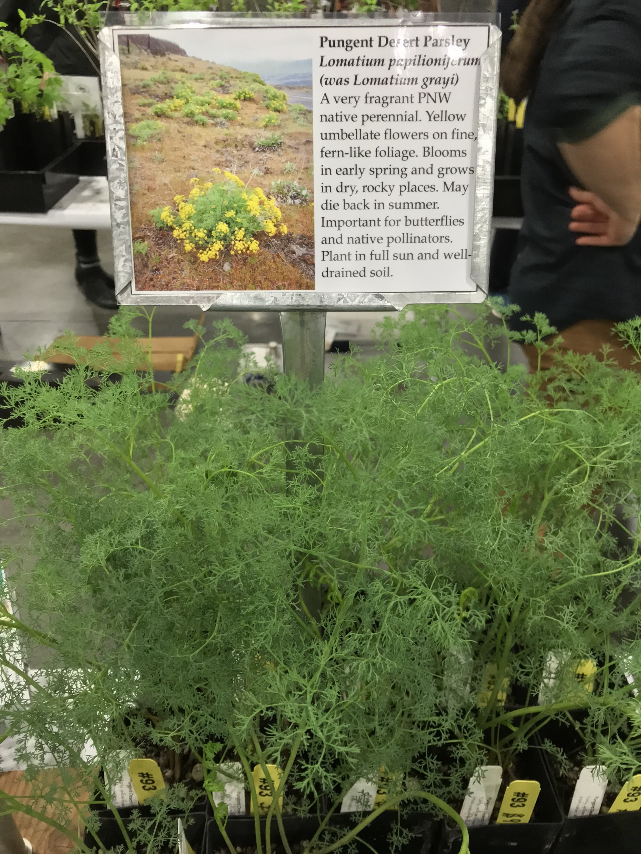 Lomatium grayi  (technically now  L. papilioniferum , but none of us calls it that) at Humble Roots Farm's Hortlandia booth, April 15 this year.