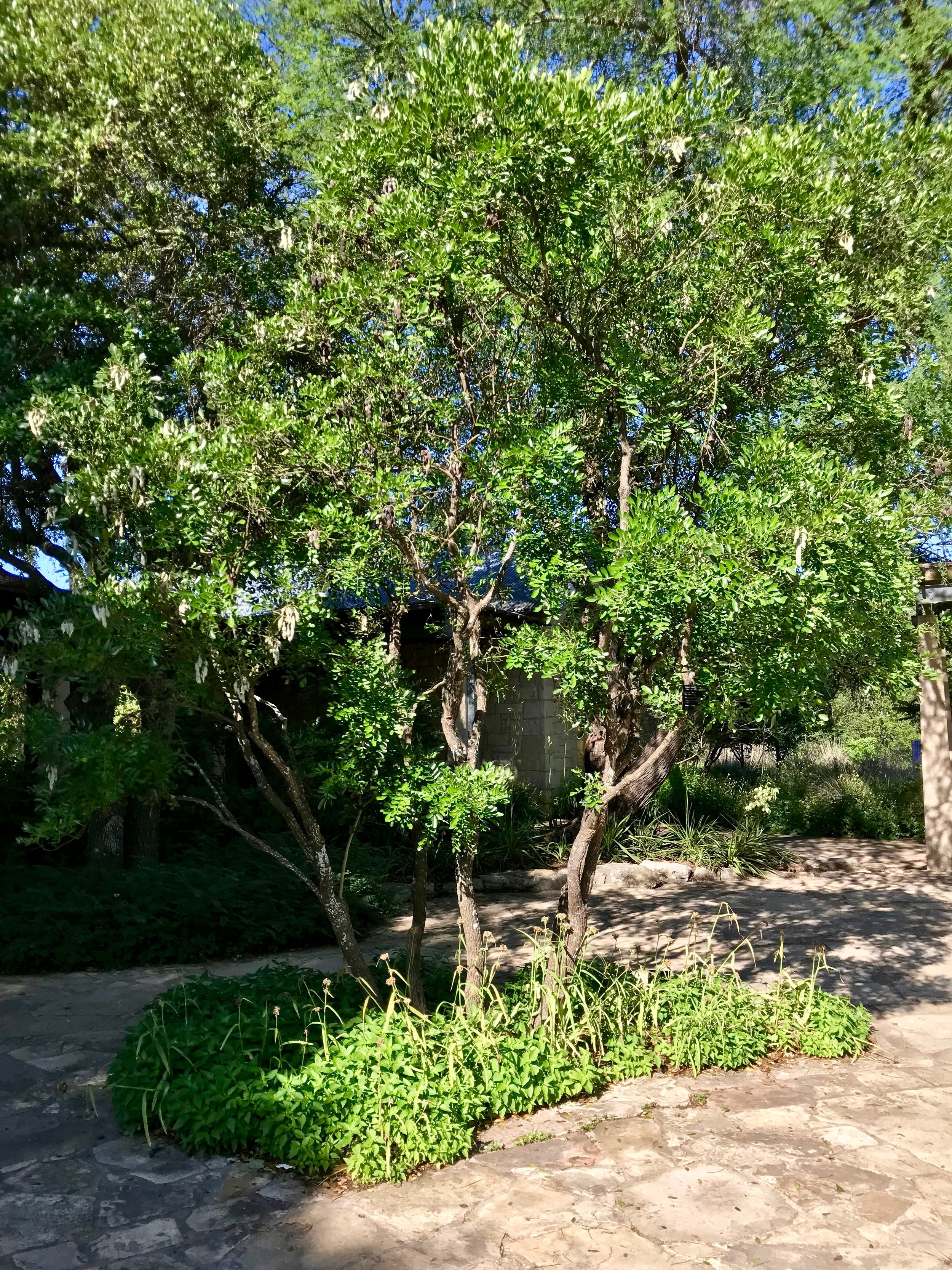 The courtyard's Texas Mountain Laurel, on a sunnier day