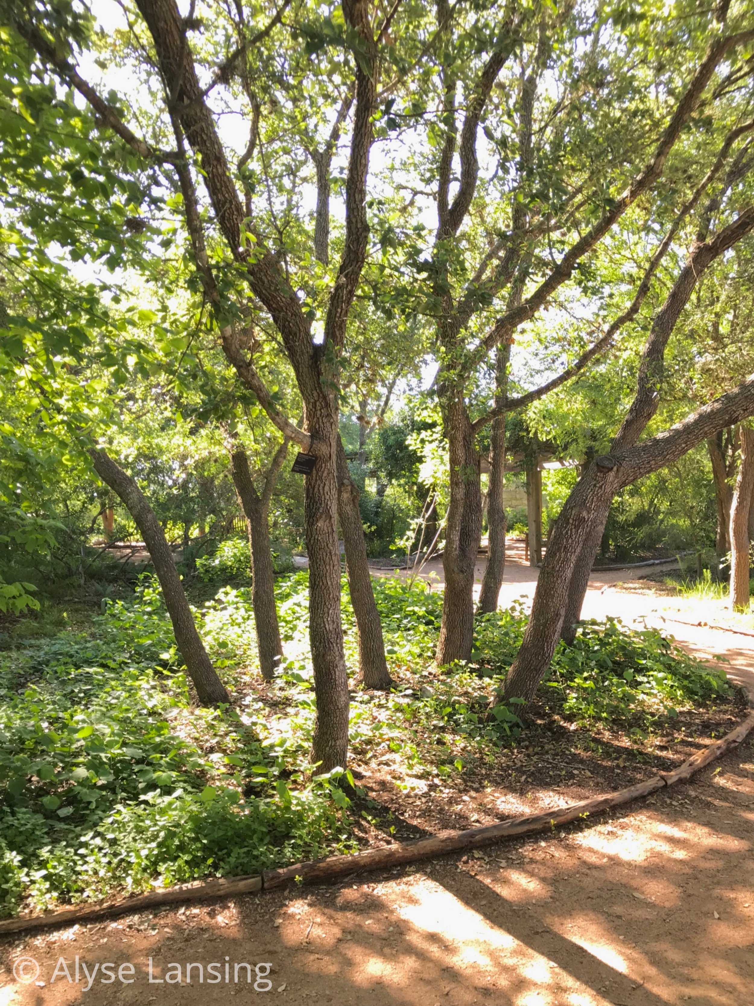 The glade is shaded by several Texas native trees, most notably  Quercus fusiformis  (Escarpment Live Oak) which grows everywhere throughout the Hill Country, and ubiquitous throughout Austin. They make the city so beautiful. The photo above is all live oak.