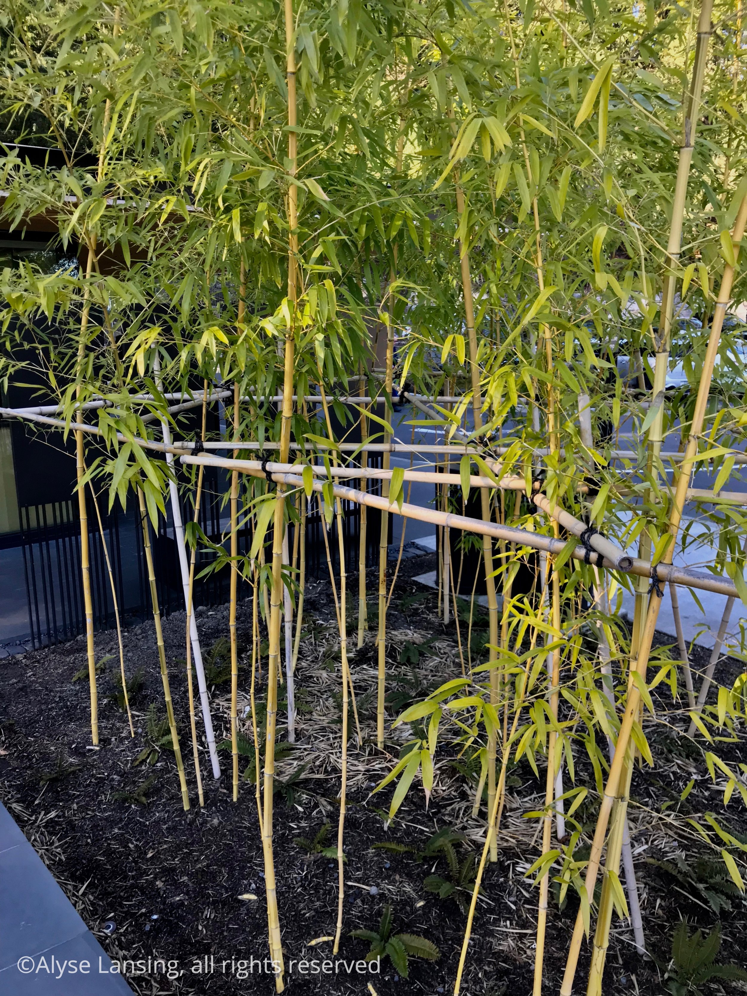 """I admire the bamboo staking in this garden, artistically and subtly executed. They situate the horizontal pieces exactly at the average person's eye level, so that most of the gridwork that could distract the eye is """"hidden.""""  I had to stand up on the water feature ledge to get this photo, and even then, it was hard to distinguish the lashing and how it's done. I love the cleverness, and the thought that was obviously put behind that detail."""