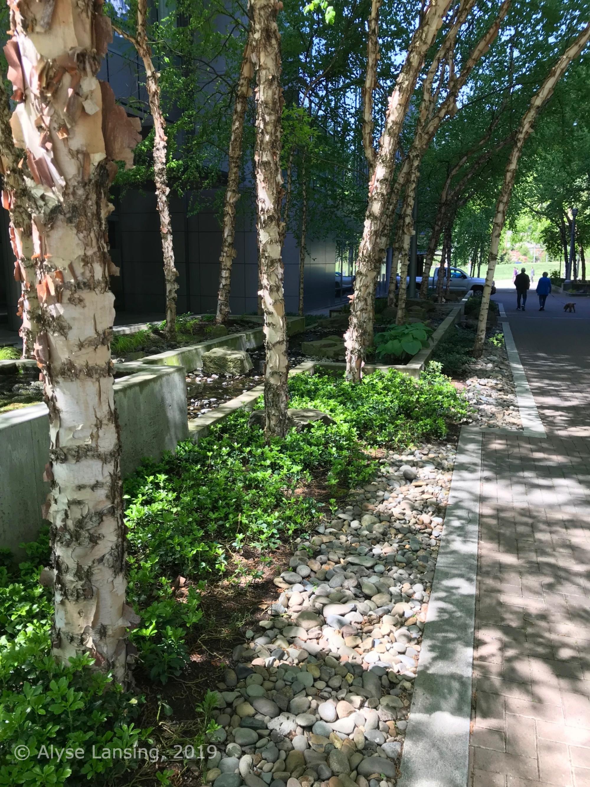 Grove of river birch (Pennoyer Street, north side of the John Ross building).