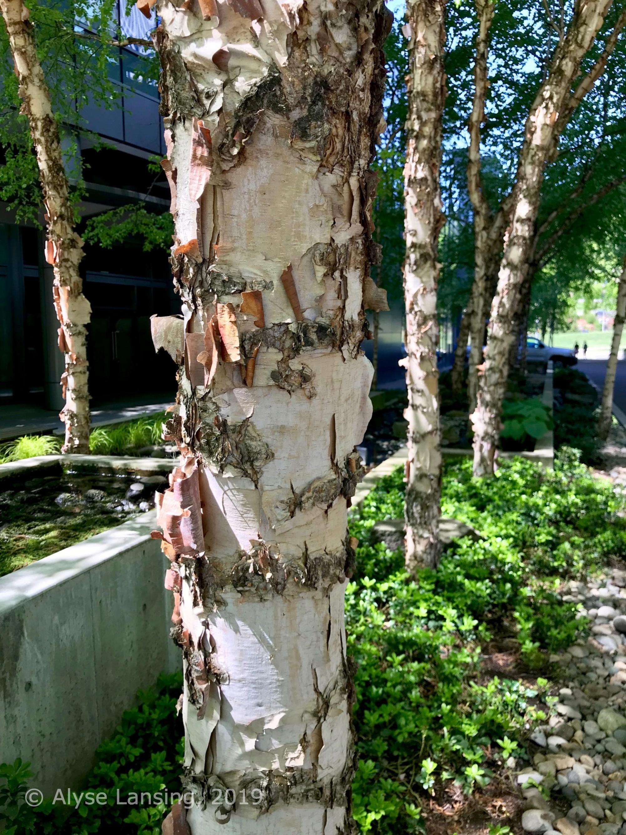 River Birch,  Betula nigra  or cultivar