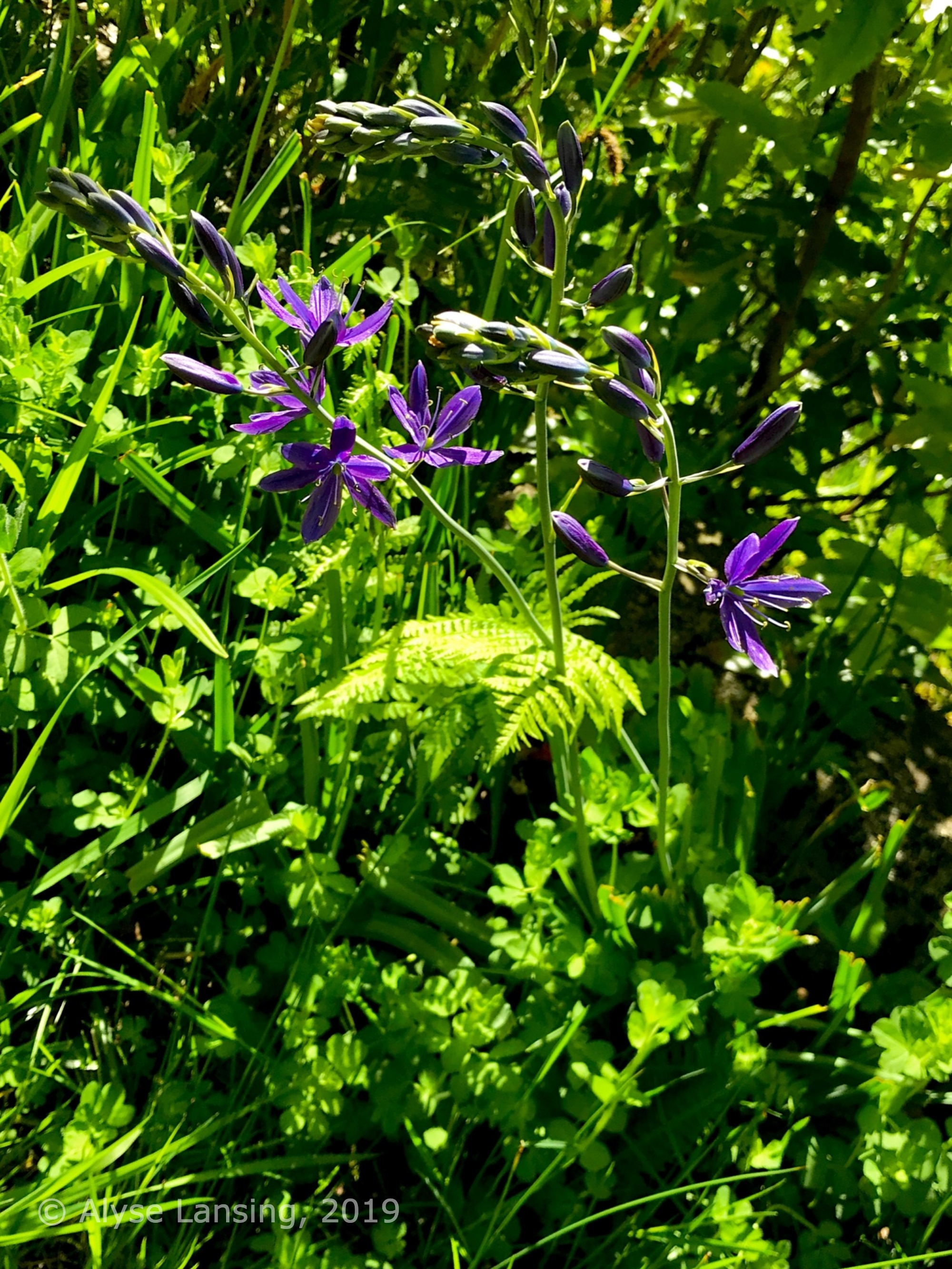 Camas Lily ( Camassia ) in the bioswale