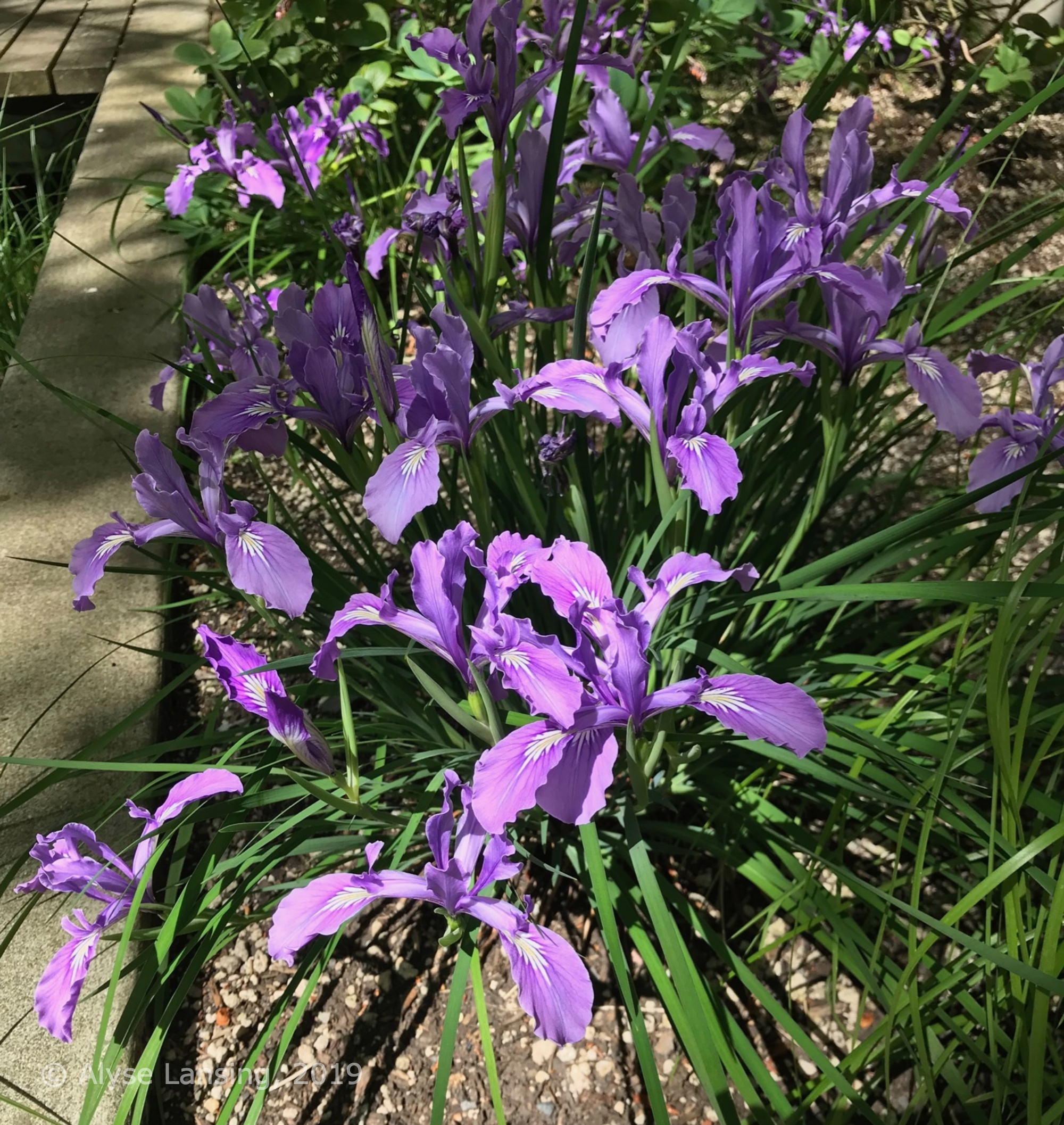 Native Iris tenax in bloom at the front doors of the city homes.