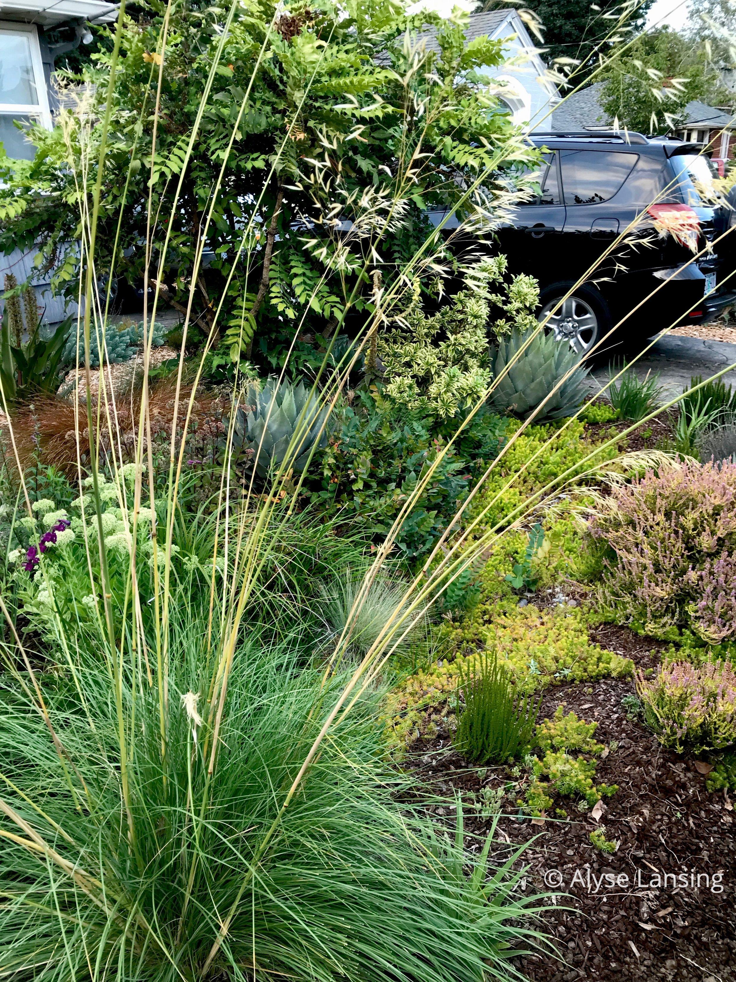 Stipa gigantea , Giant Feather Grass