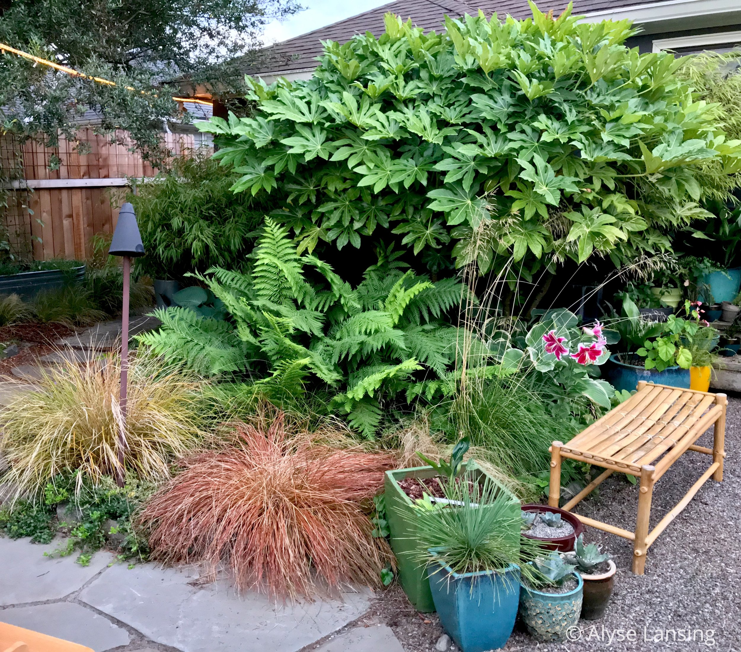 L to R:  Anemanthele lessoniana  (Pheasant's Tail Grass),  Carex  'Cappucchino' (New Zealand Hair Sedge),  Woodwardia fimbriata  (Giant Chain Fern), and  Fatsia japonica .