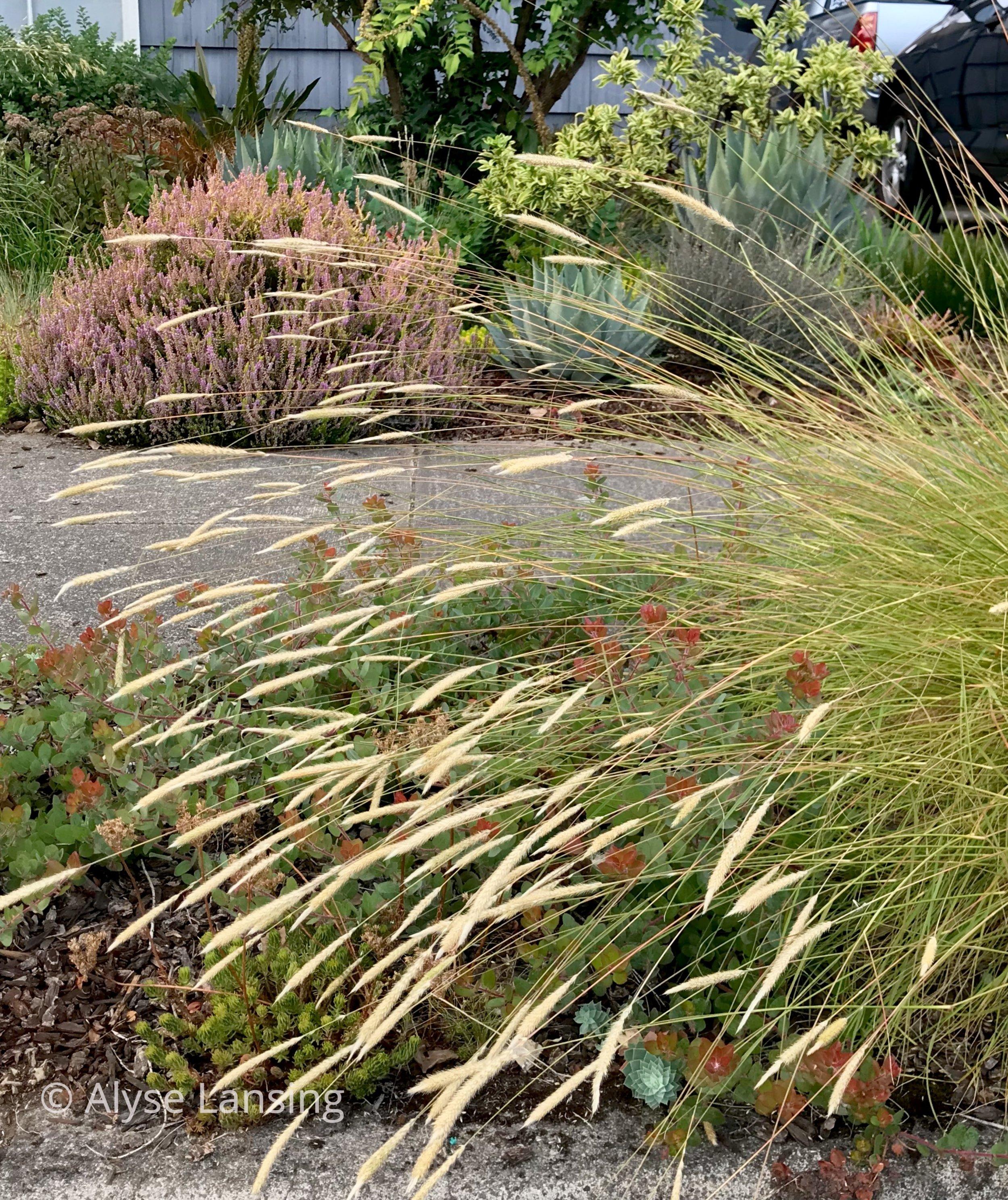 Pennisetum spathiolatum  (Slender Veldt Grass)