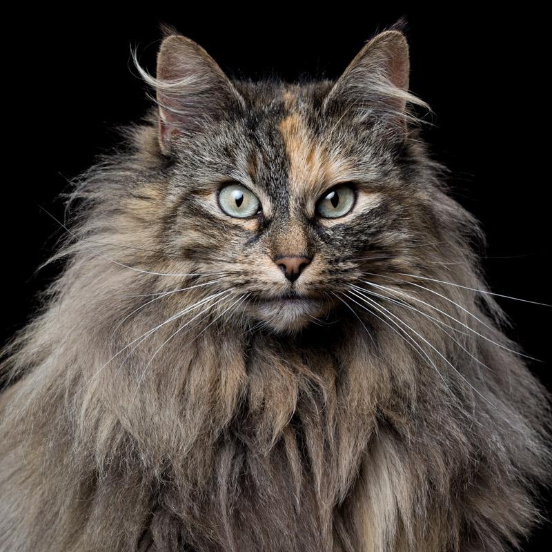 Camila [6F] (Norwegian Forest Cat) 0096.jpg