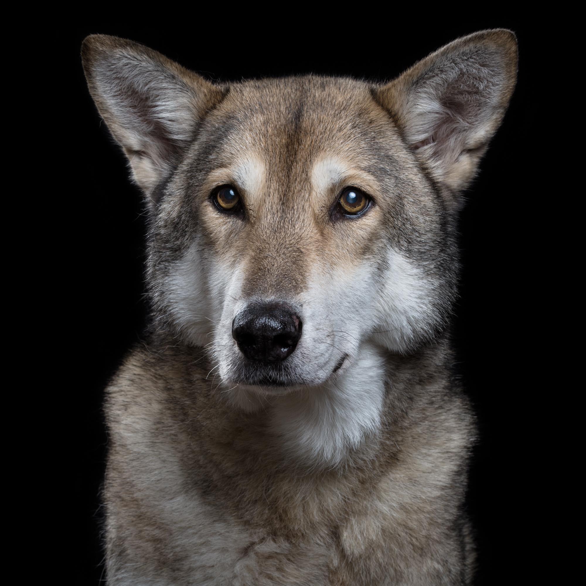 Duet 12F Saarloos Wolfdog 293.jpg