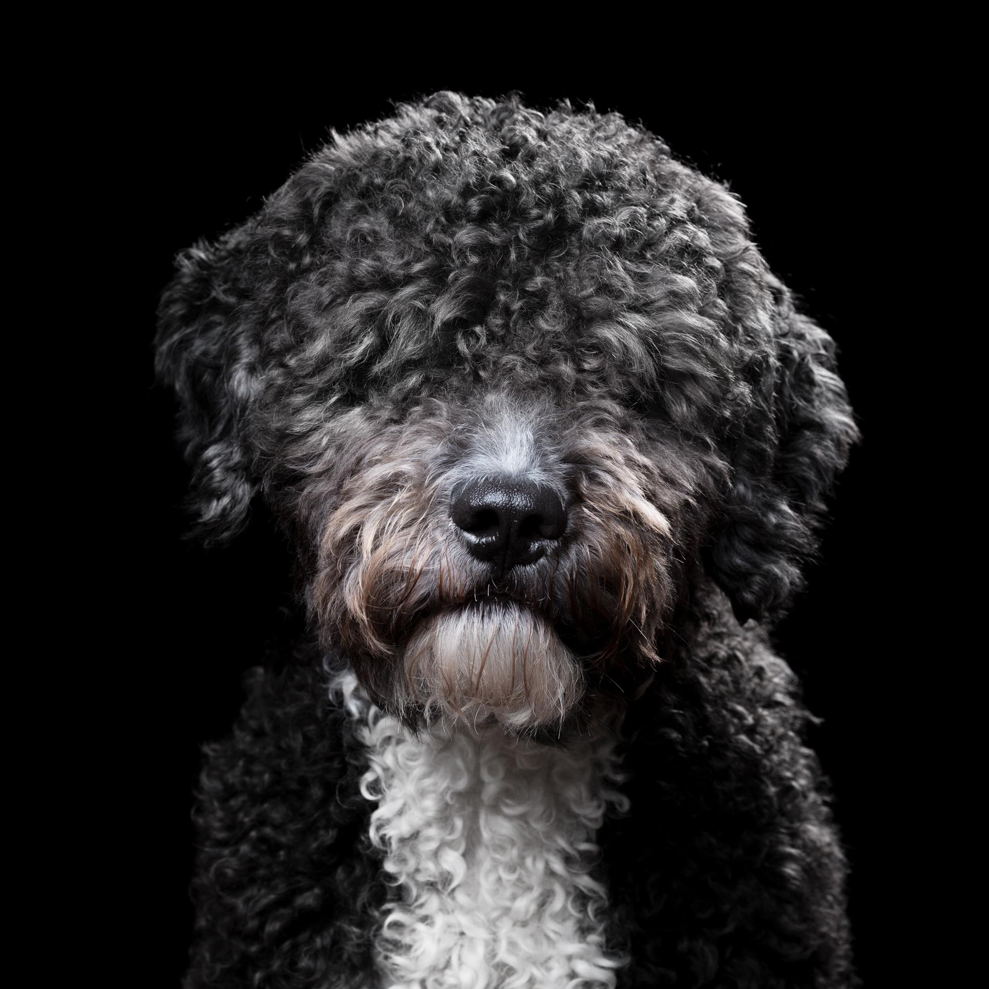 Jack [1M] (Spanish Waterdog) 460.jpg
