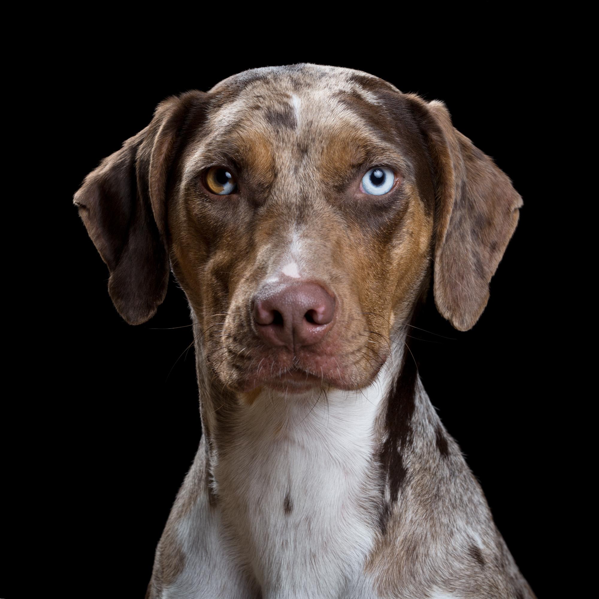 Rogue [2F] (Catahoula Leopard Dog) 0994.jpg