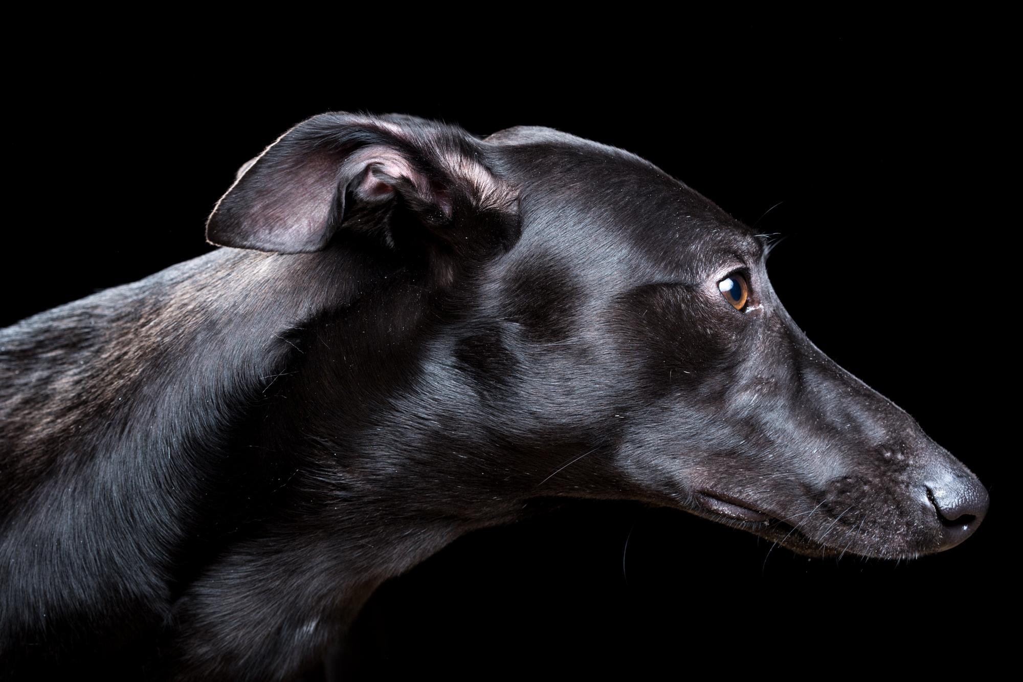 Hugo [1M] (Greyhound) 1031.jpg