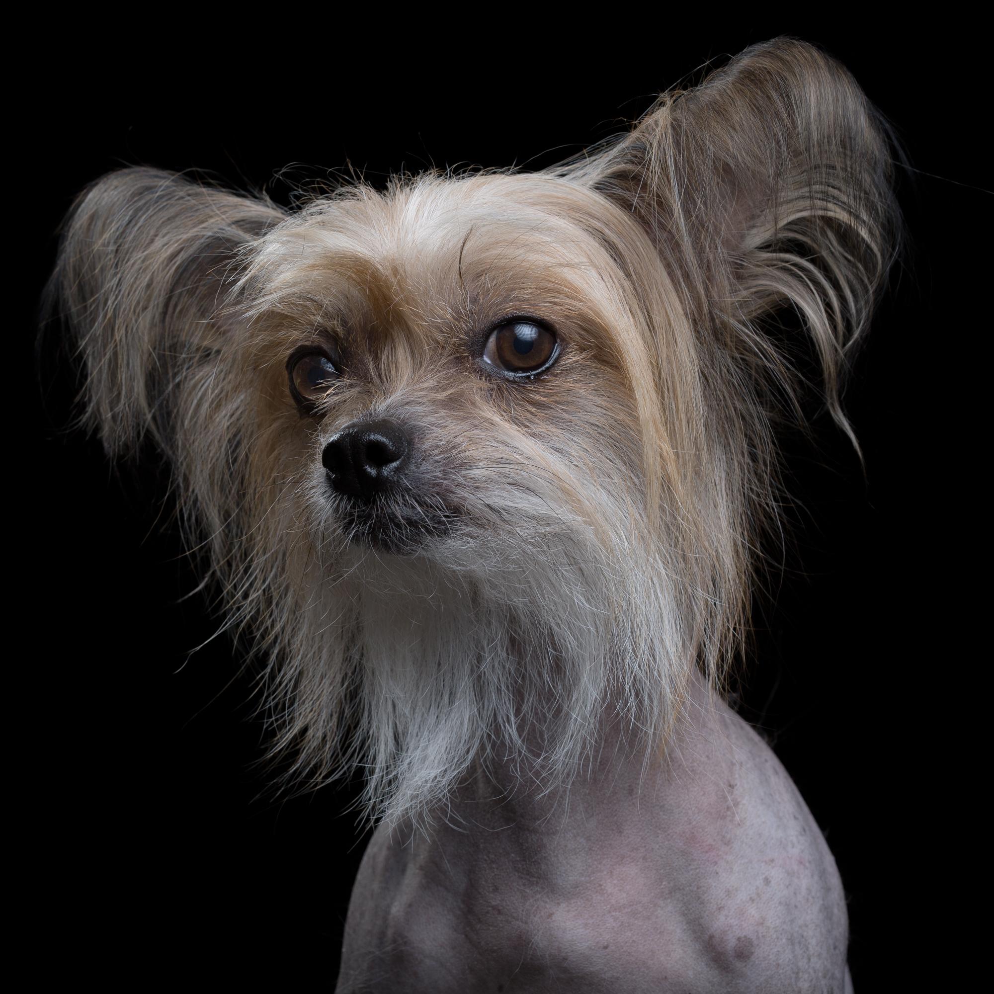 Mira [4F] (Chinese Crested Dog)1595.jpg