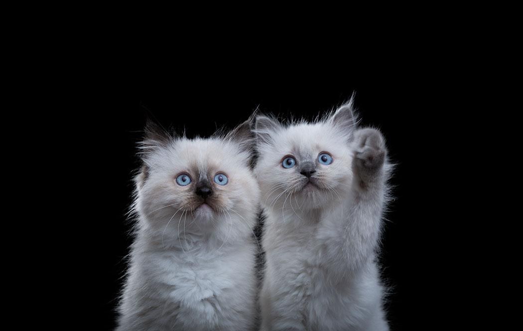 Ragdoll Kittens Website.jpg