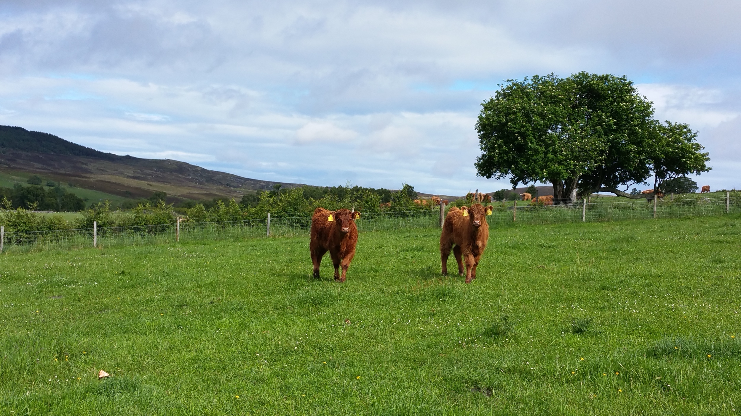 A couple of the Calves who have found a new home on the Isle of Mull