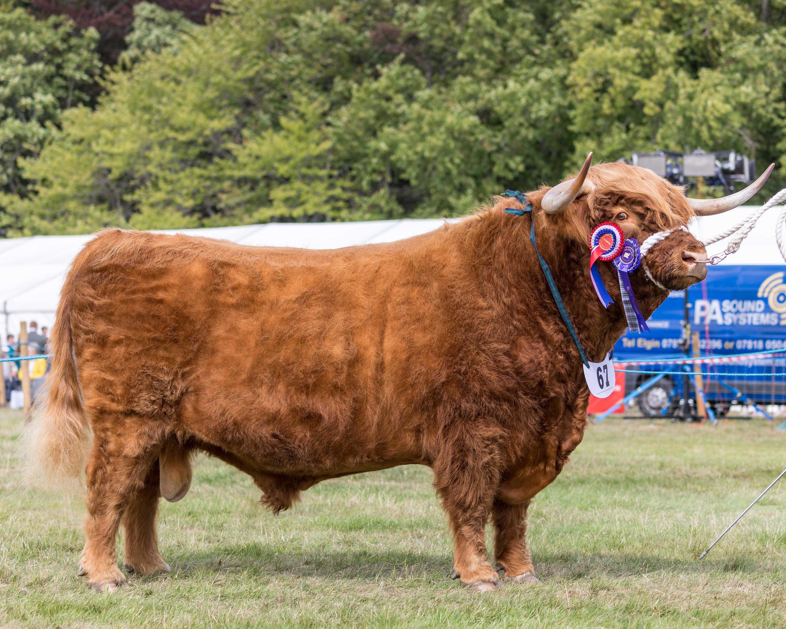Cattle Grantown 18-111-wee file.jpg